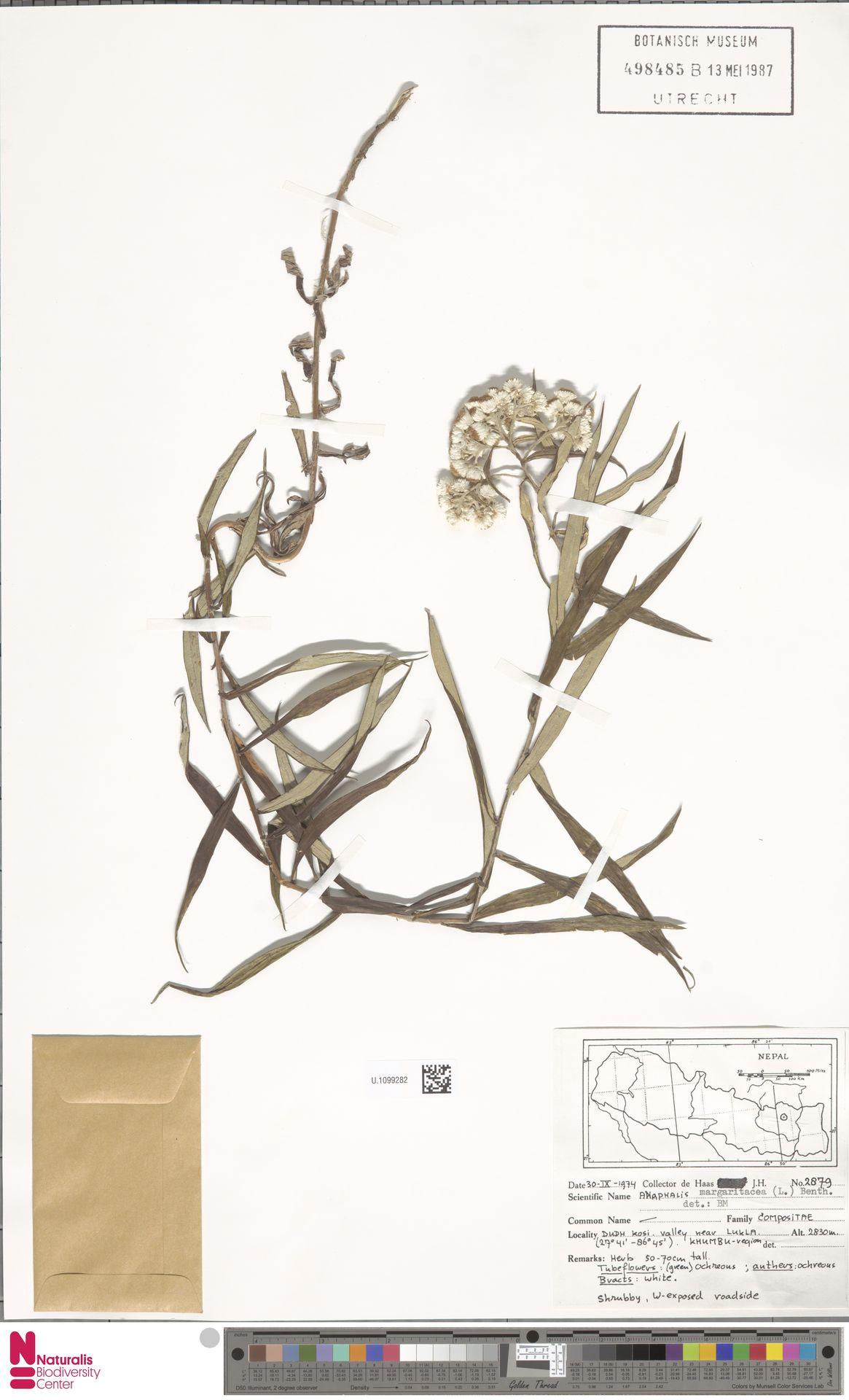 U.1099282 | Anaphalis margaritacea (L.) Benth. & Hook.f.