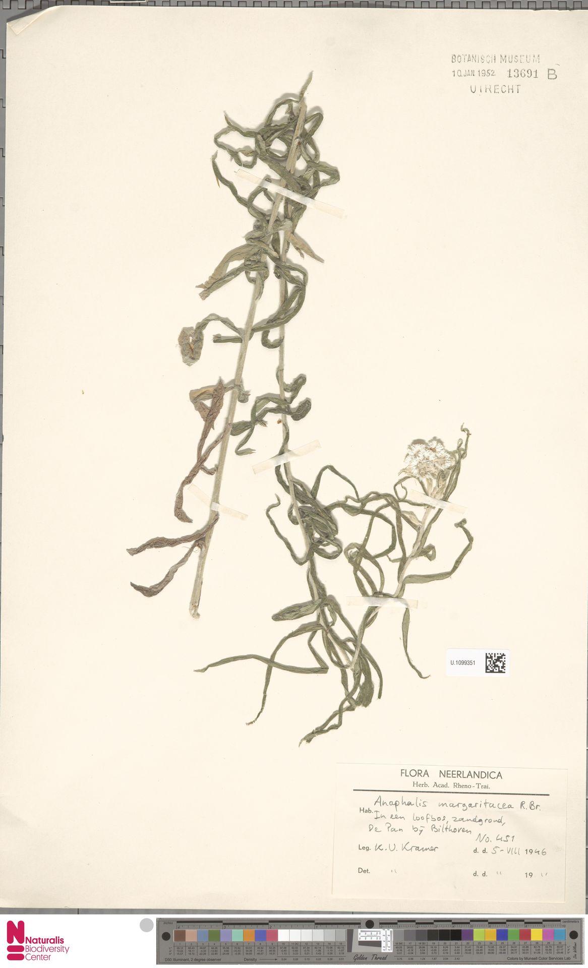 U.1099351 | Anaphalis margaritacea (L.) Benth. & Hook.f.