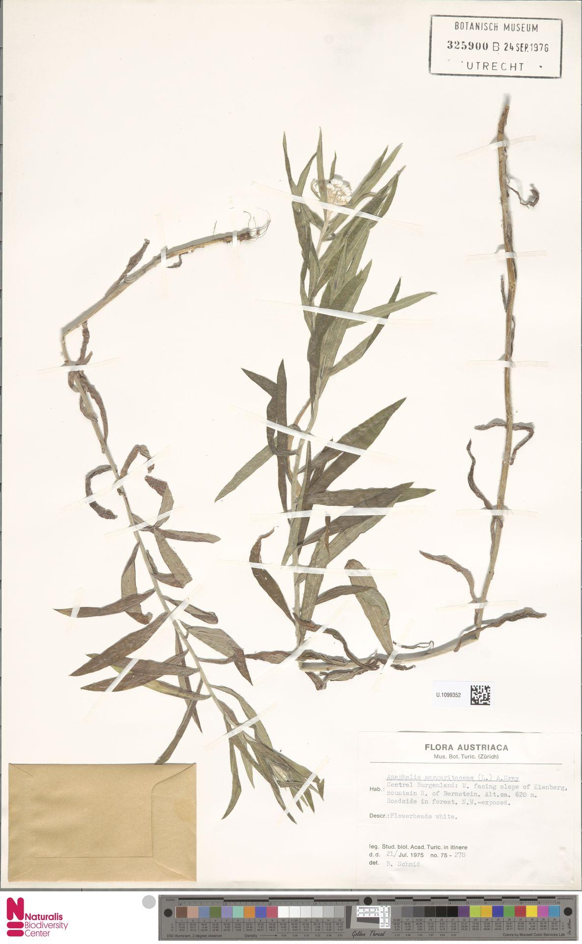U.1099352 | Anaphalis margaritacea (L.) Benth. & Hook.f.