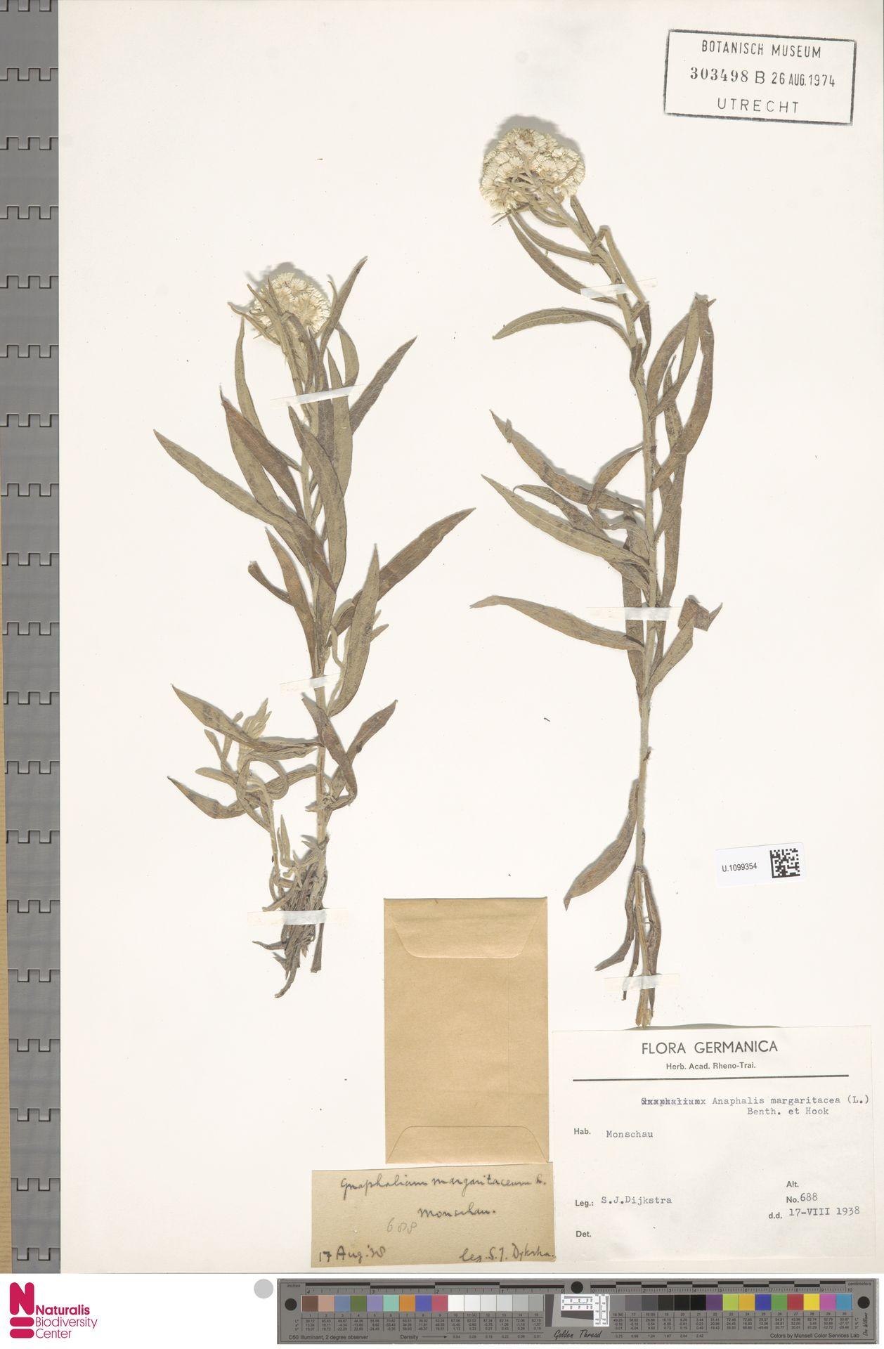 U.1099354 | Anaphalis margaritacea (L.) Benth. & Hook.f.