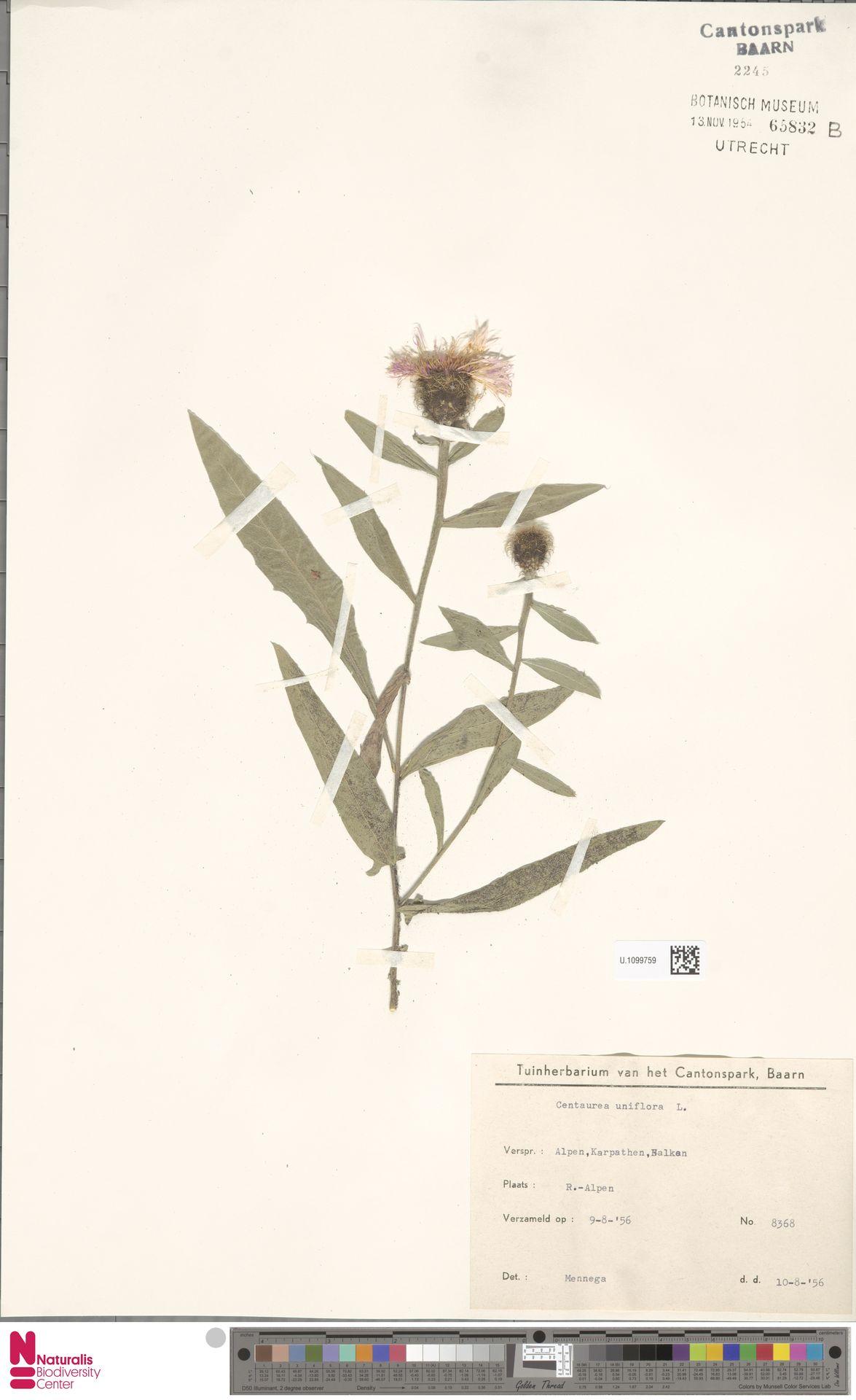 U.1099759 | Centaurea uniflora L.