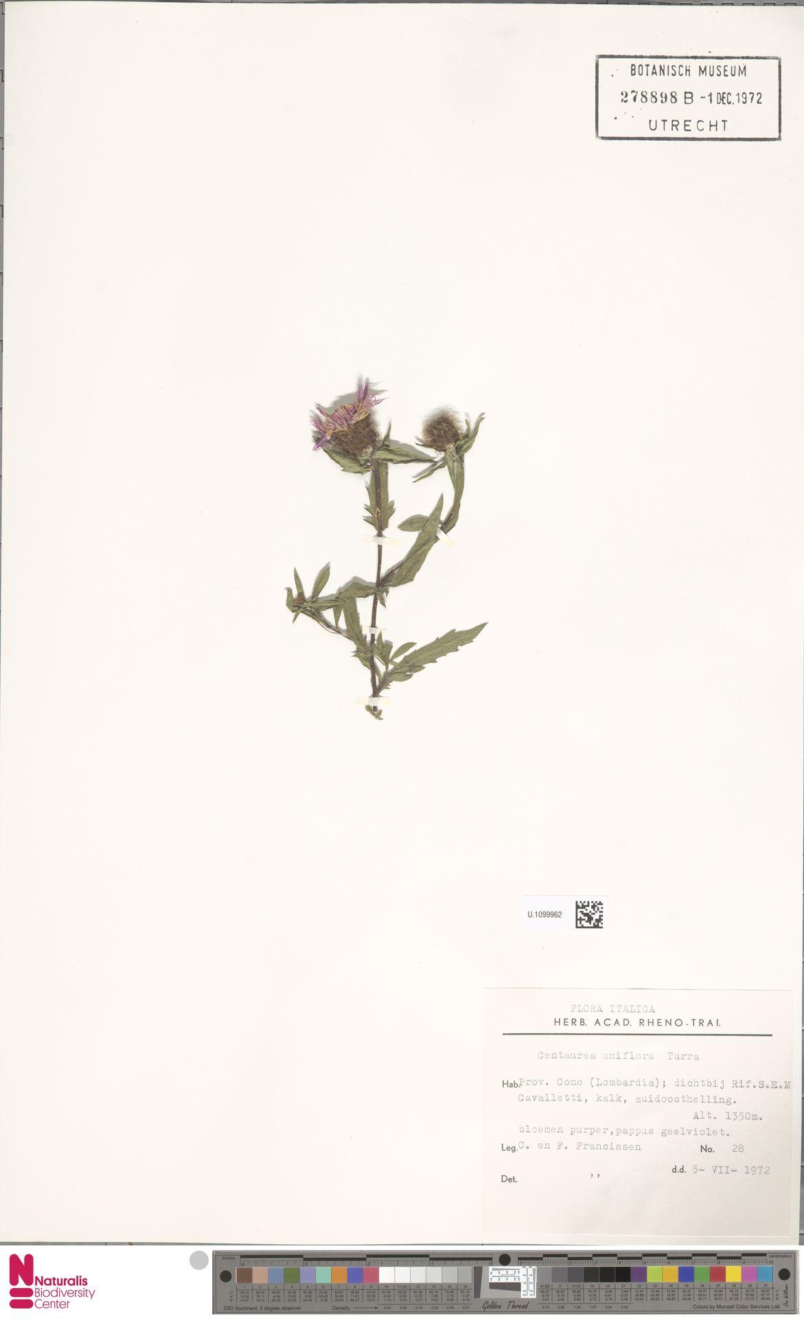 U.1099962   Centaurea uniflora L.
