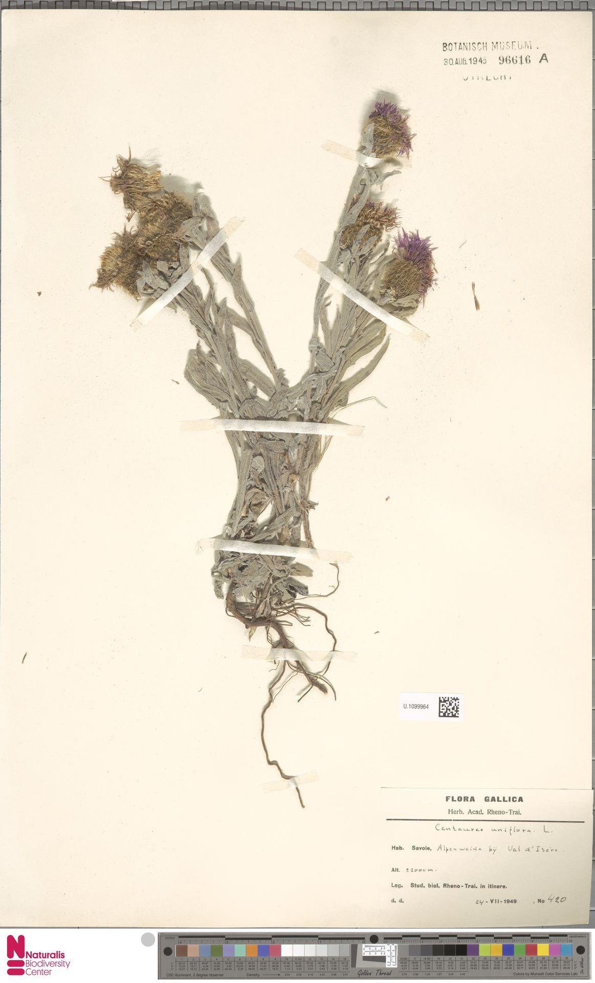 U.1099964 | Centaurea uniflora L.