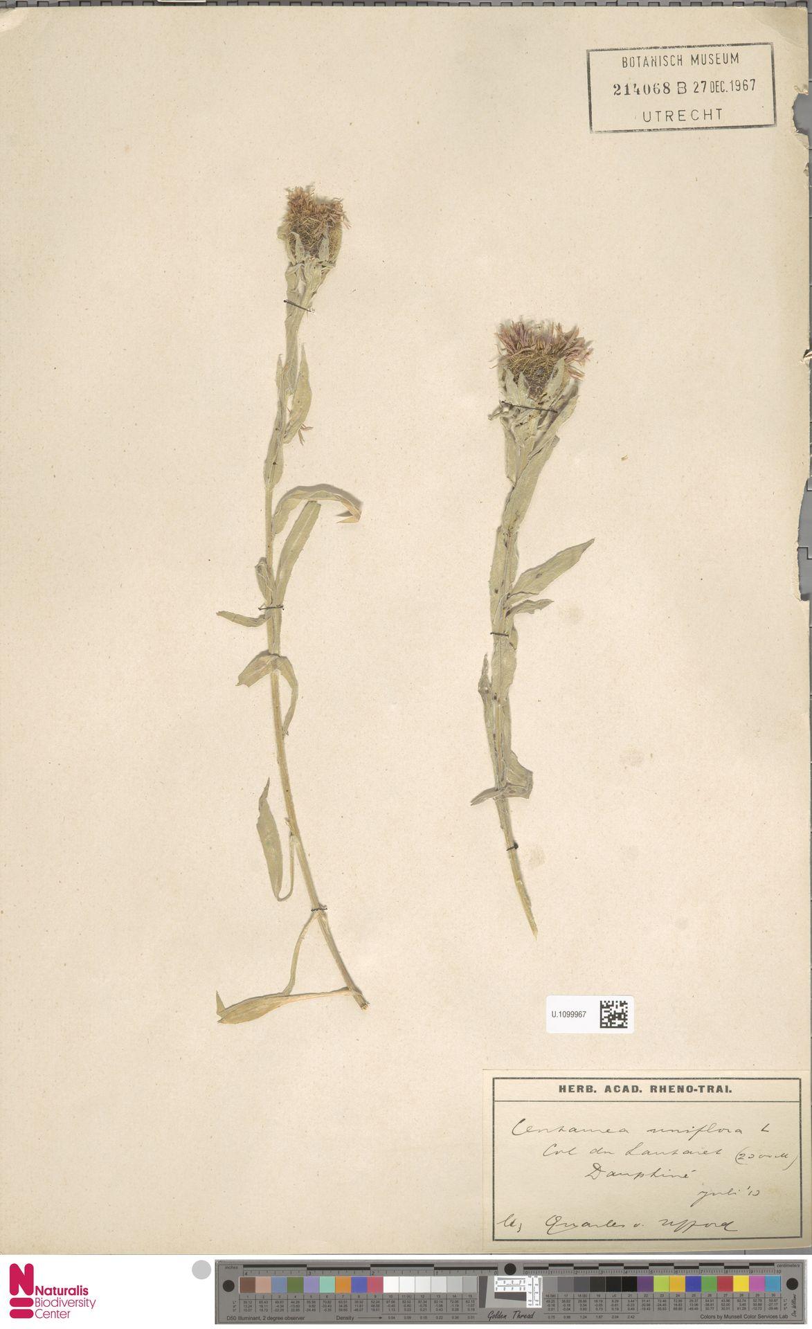 U.1099967   Centaurea uniflora L.
