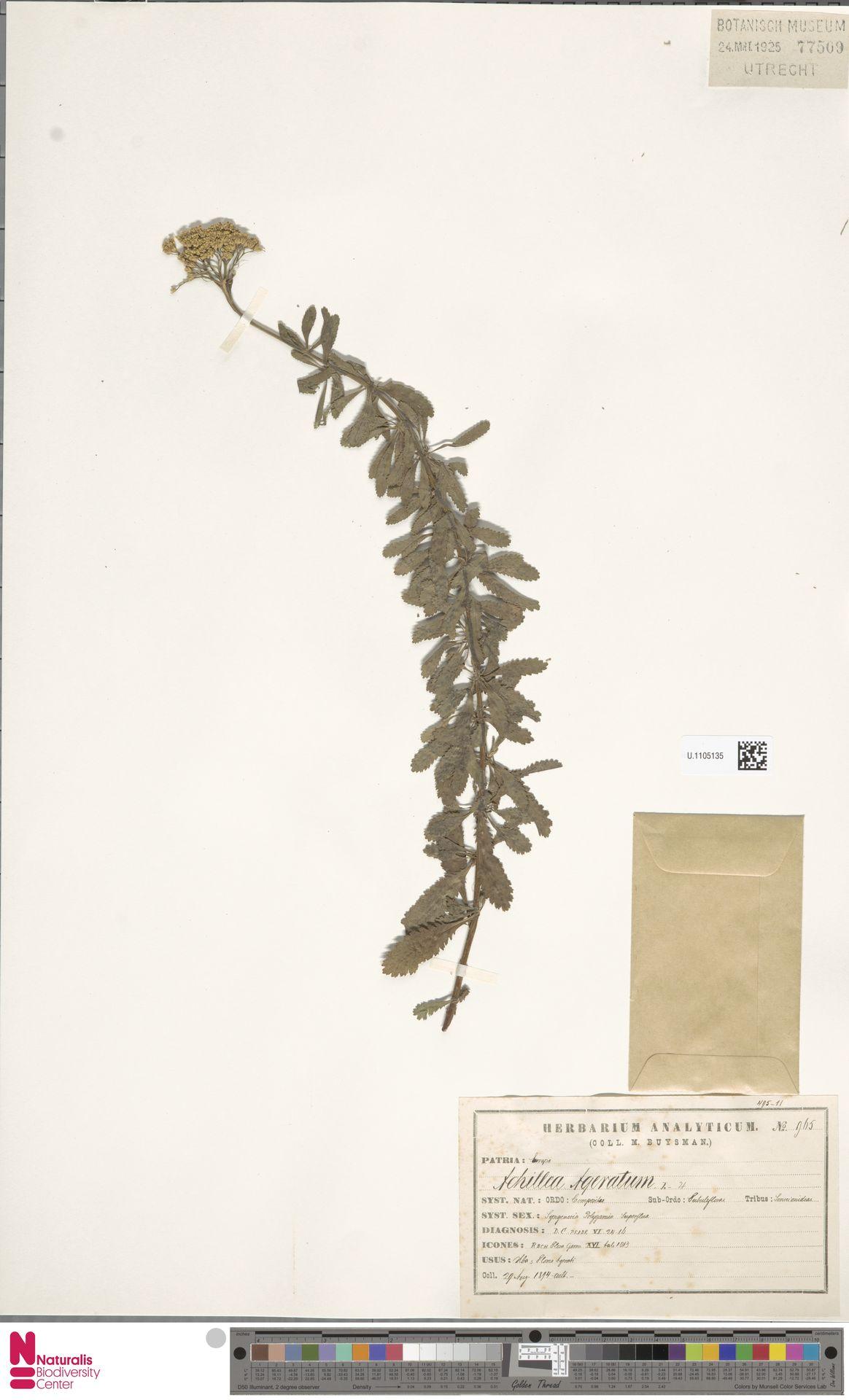 U.1105135 | Achillea ageratum L.