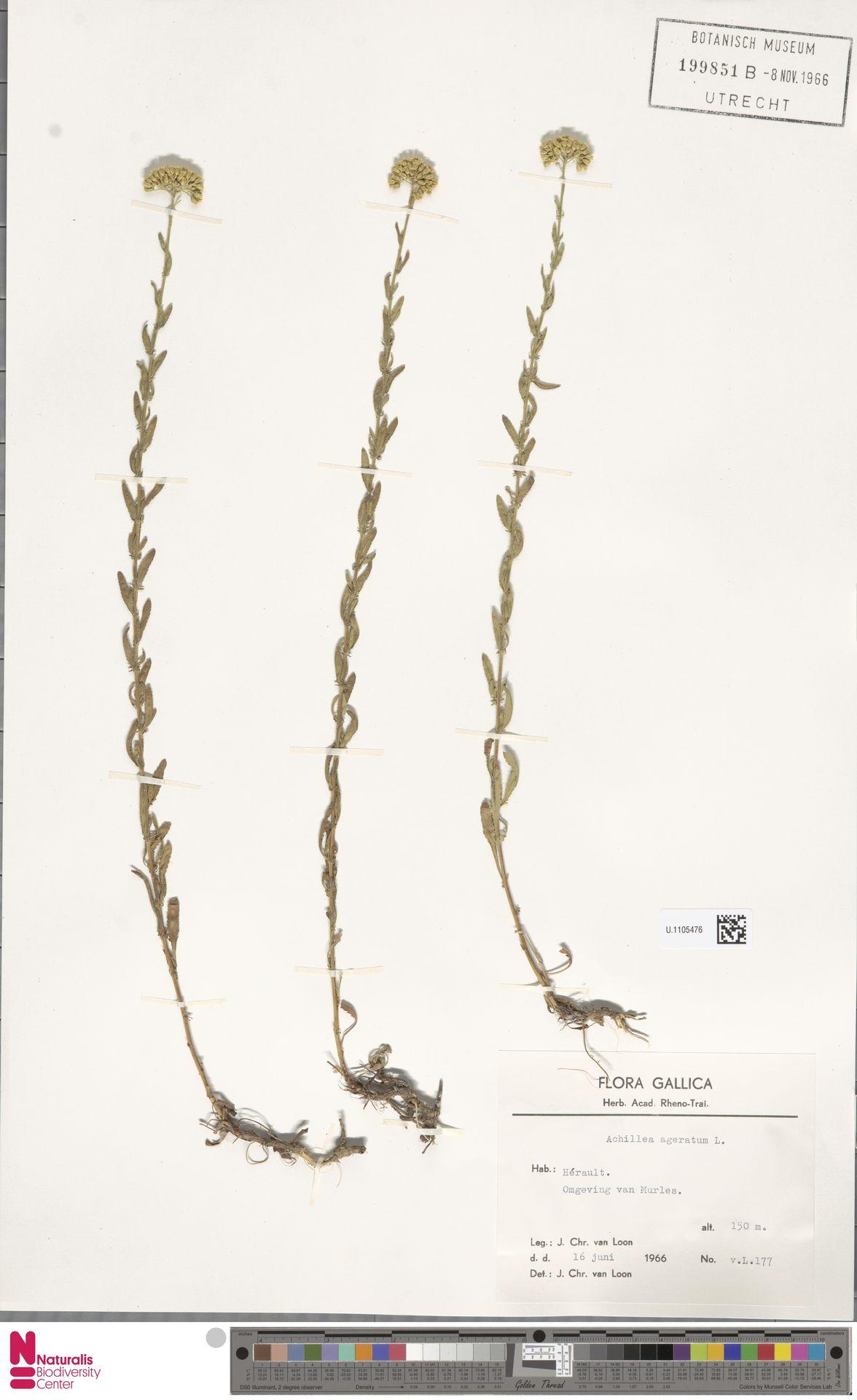 U.1105476 | Achillea ageratum L.