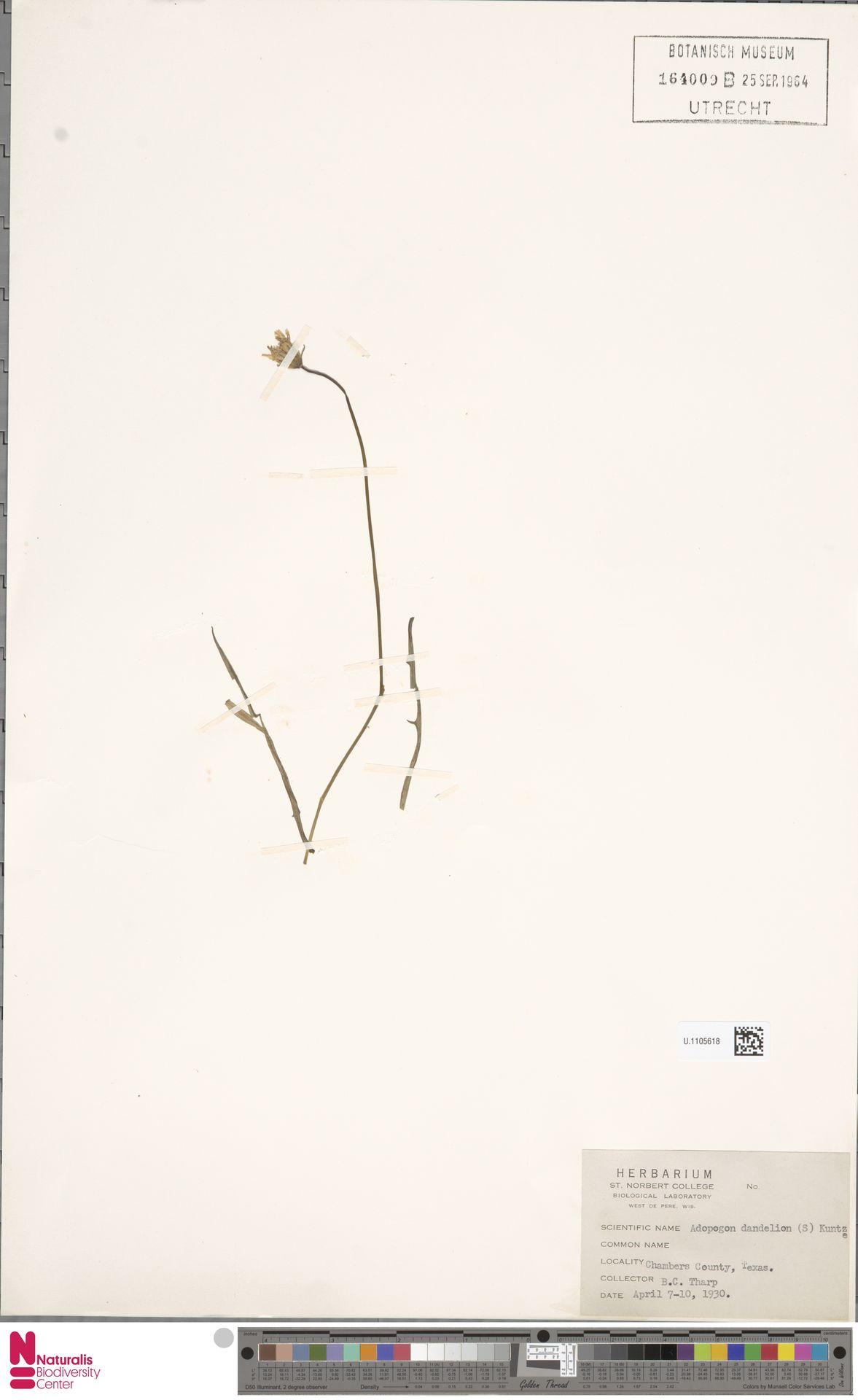 U.1105618   Krigia dandelion (L.) Nutt.