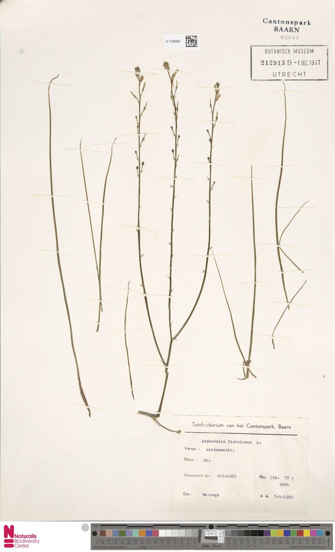 U.1106562   Asphodelus fistulosus L.