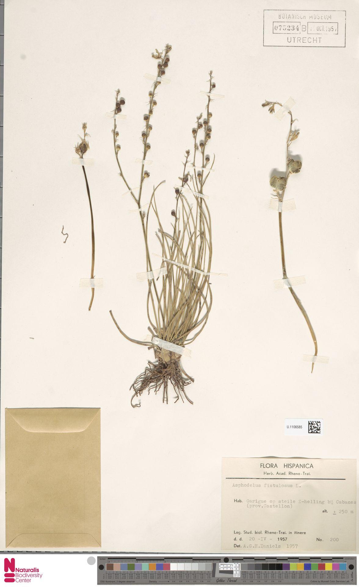 U.1106585 | Asphodelus fistulosus L.