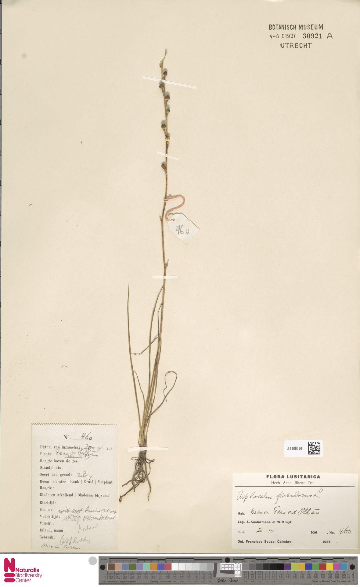 U.1106586 | Asphodelus fistulosus L.