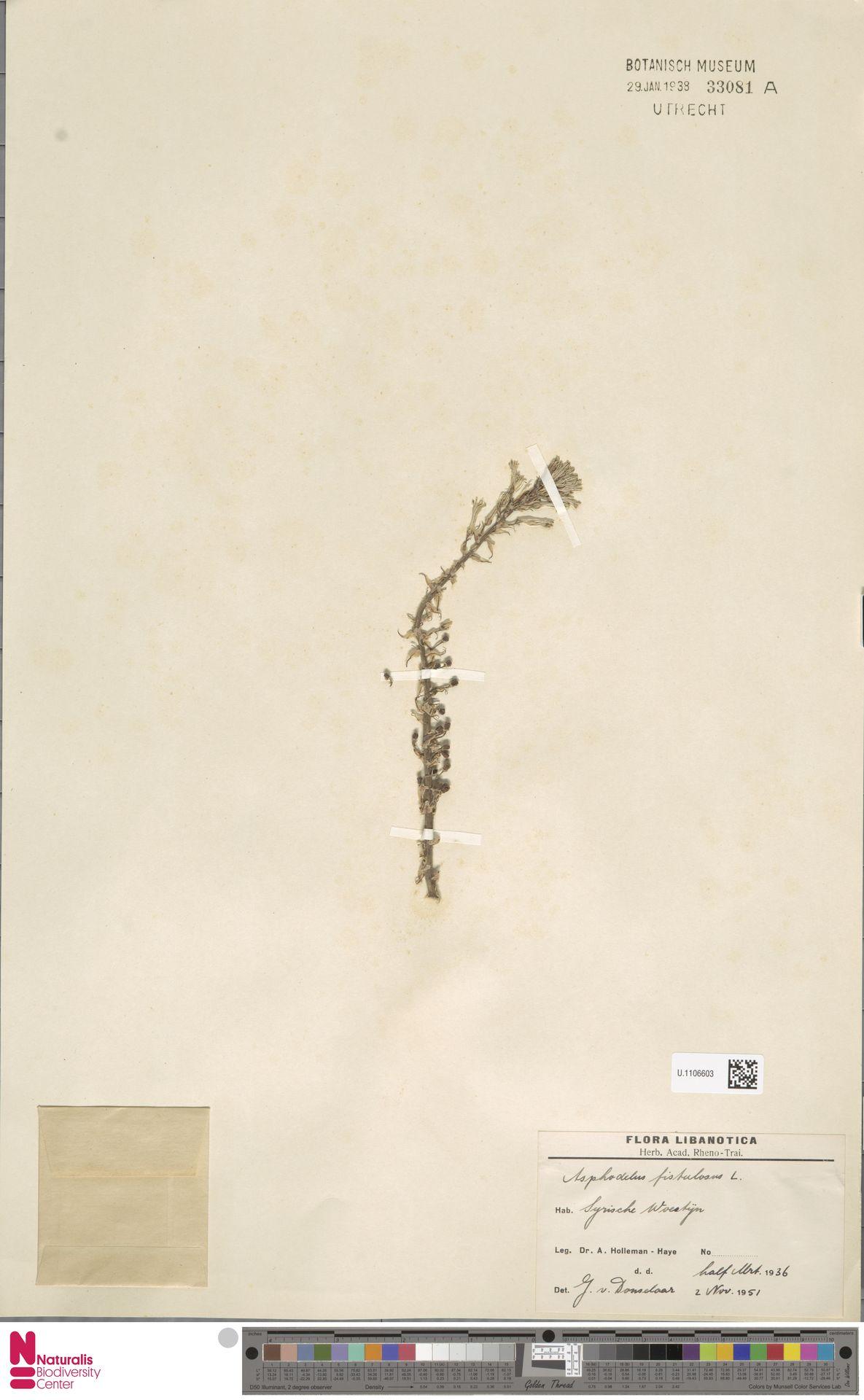 U.1106603   Asphodelus fistulosus L.