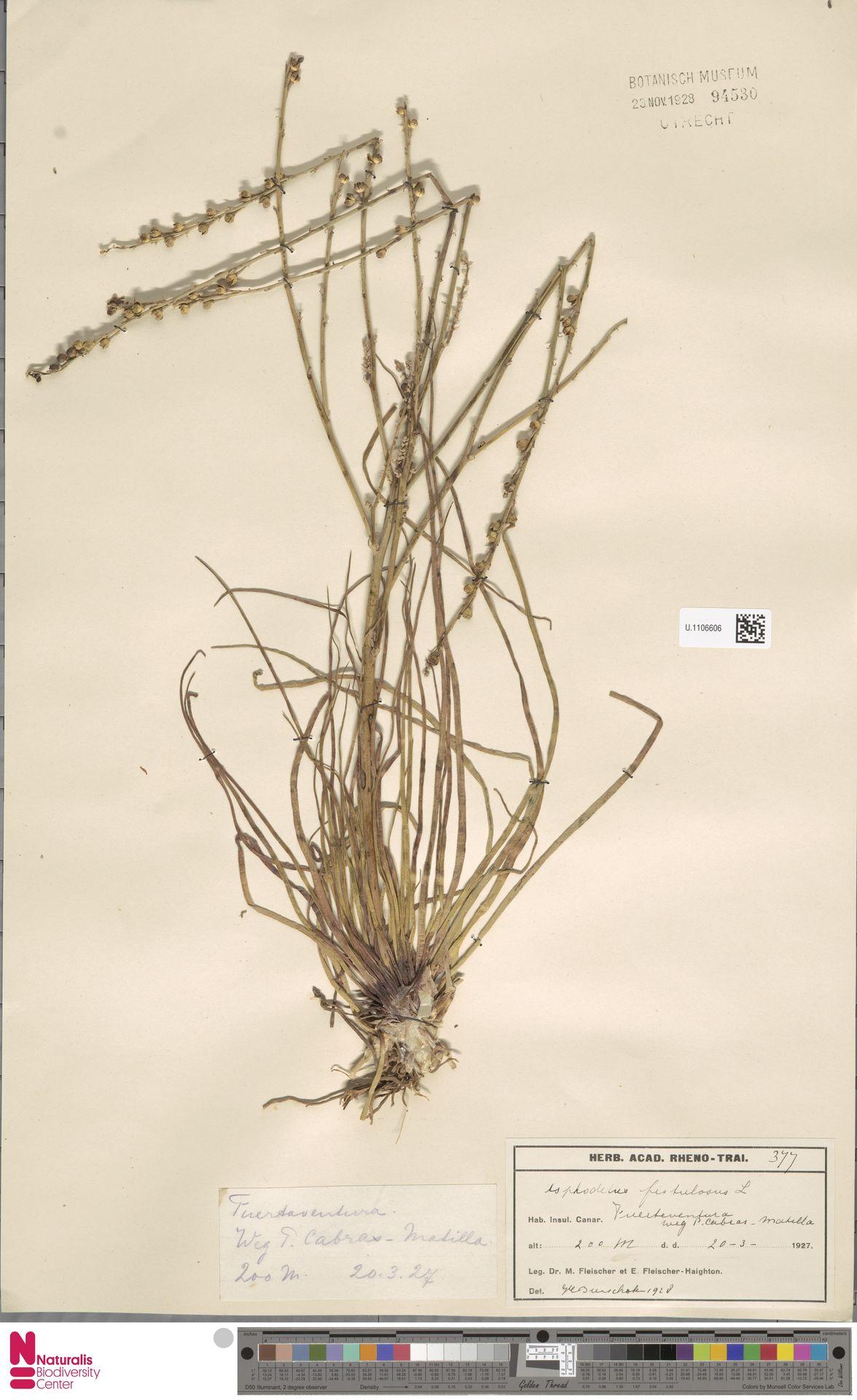 U.1106606 | Asphodelus fistulosus L.