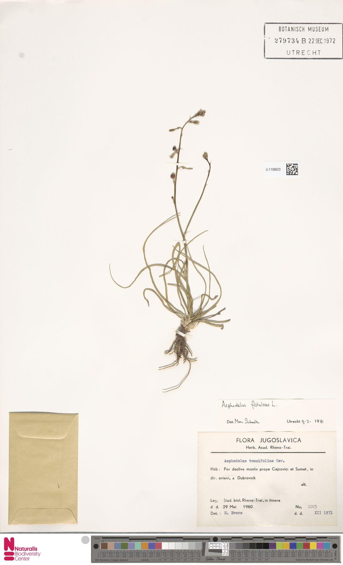 U.1106623   Asphodelus fistulosus L.