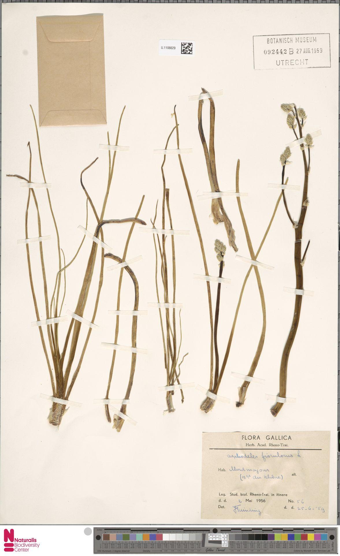 U.1106629 | Asphodelus fistulosus L.