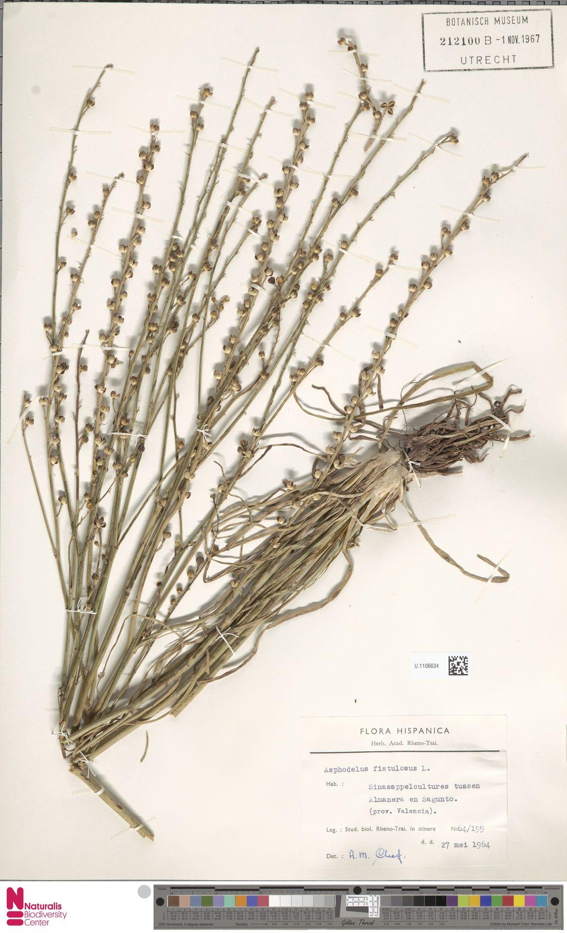 U.1106634 | Asphodelus fistulosus L.