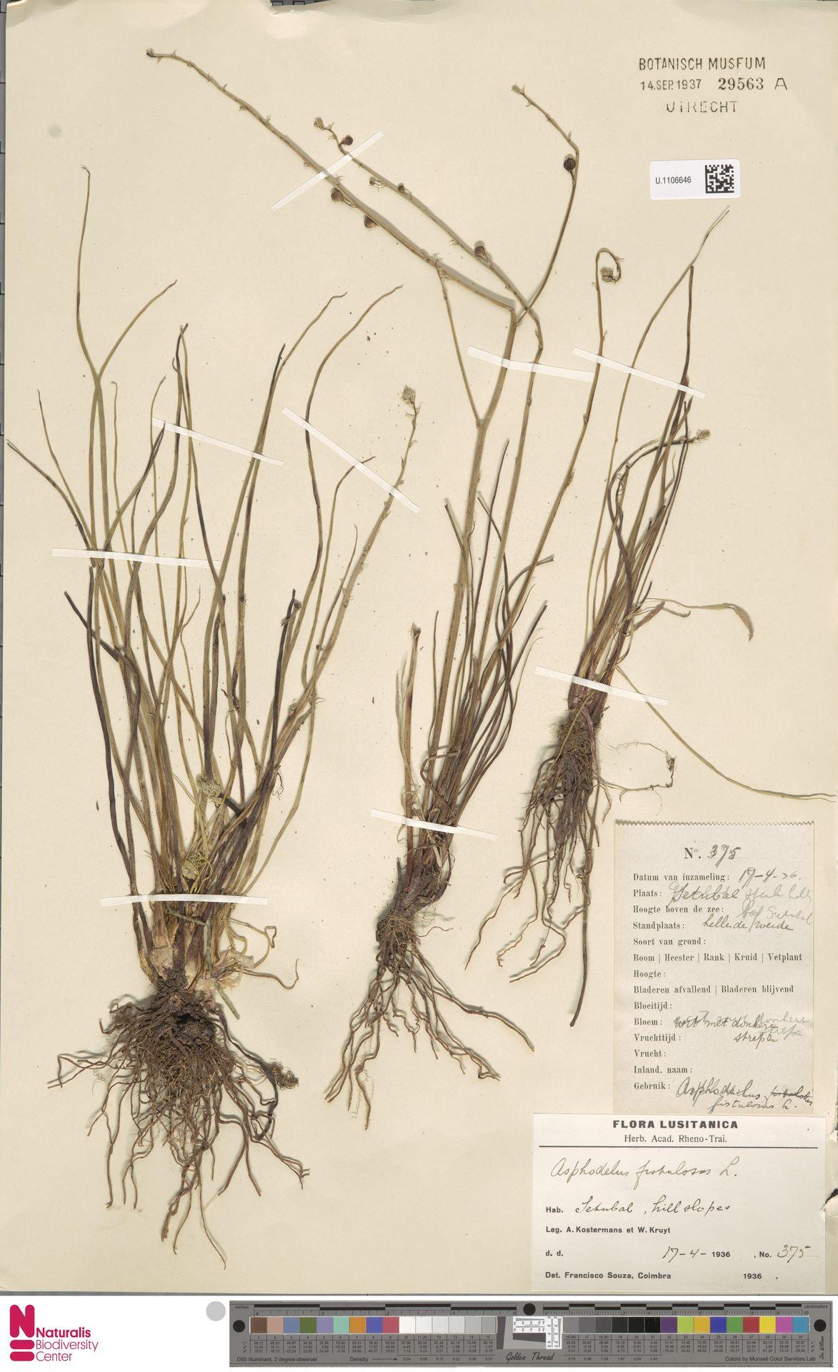 U.1106646 | Asphodelus fistulosus L.