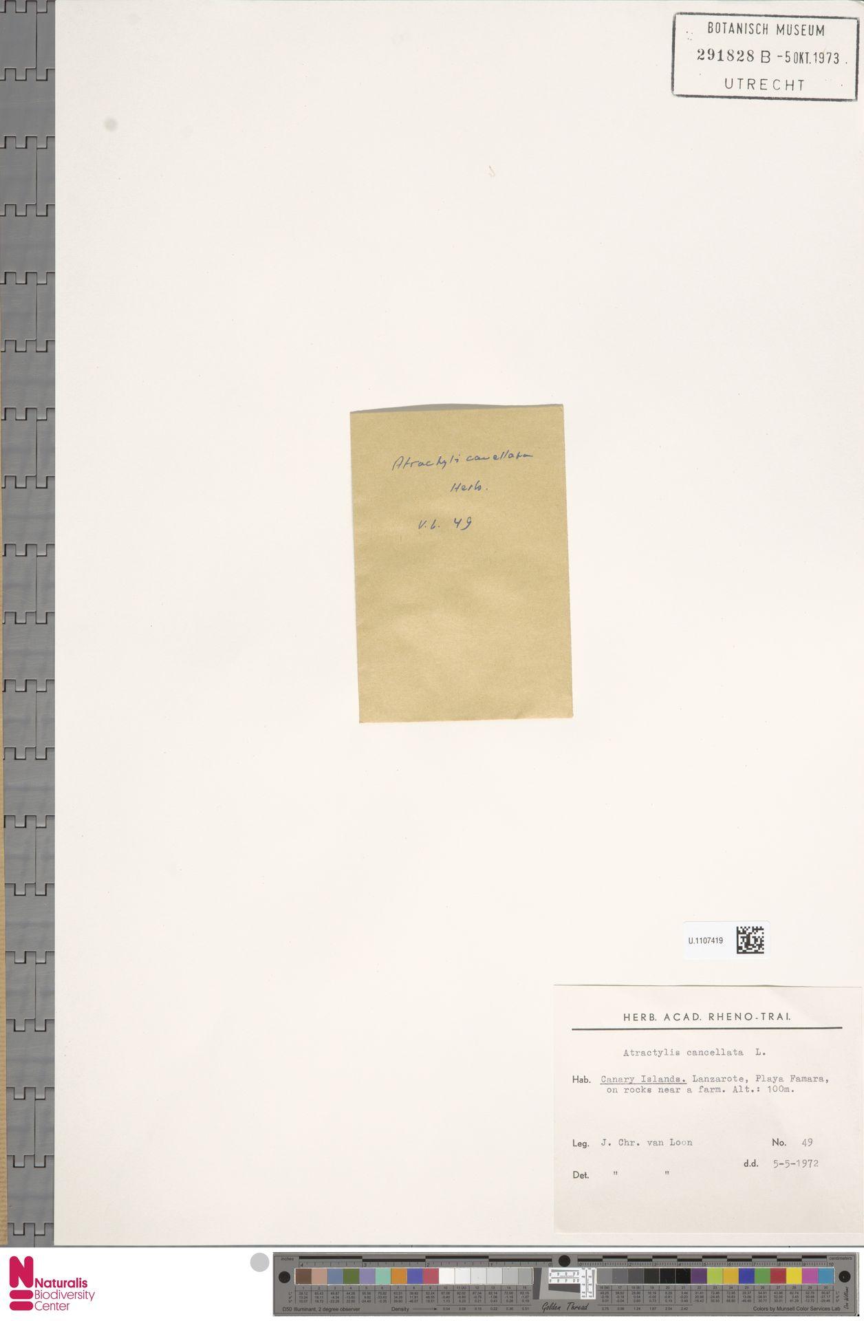 U.1107419 | Atractylis cancellata L.