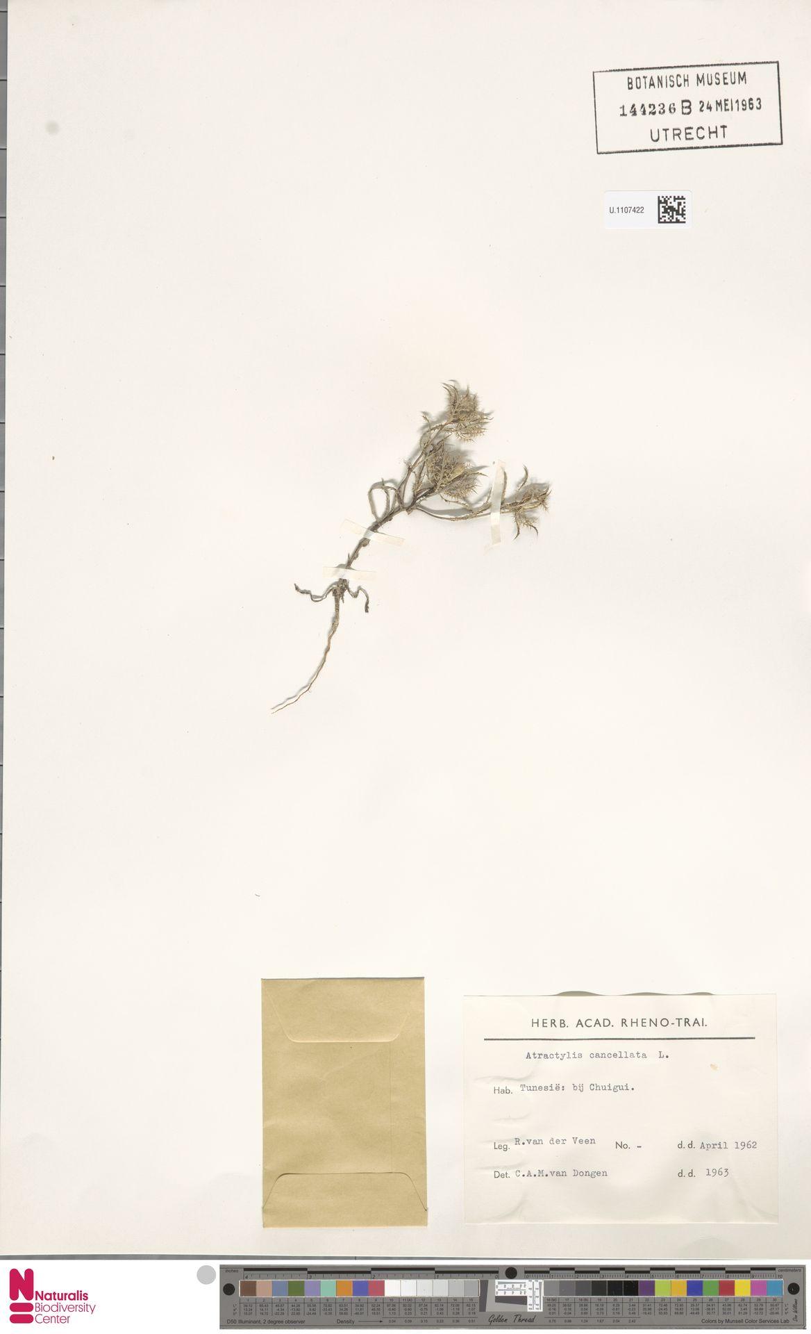U.1107422 | Atractylis cancellata L.