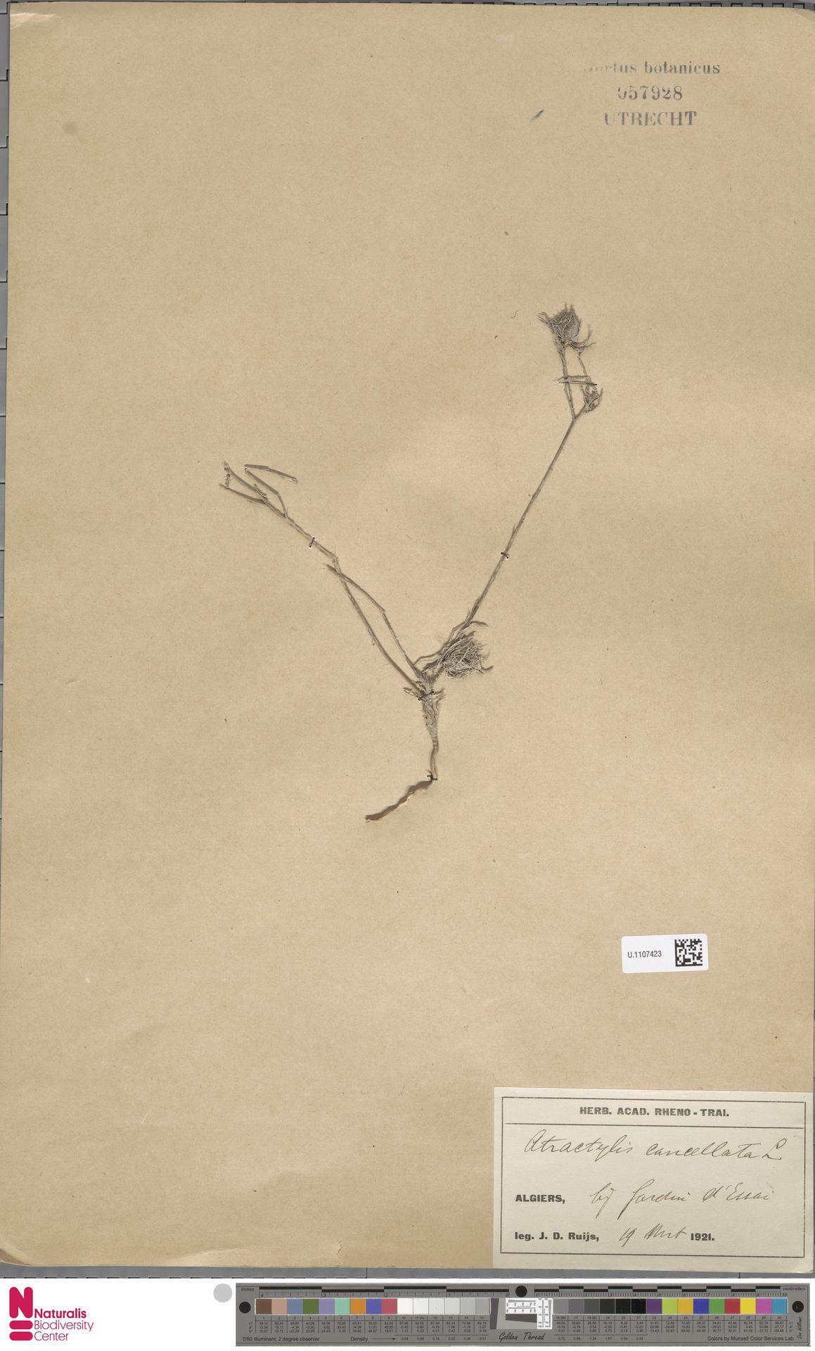 U.1107423 | Atractylis cancellata L.