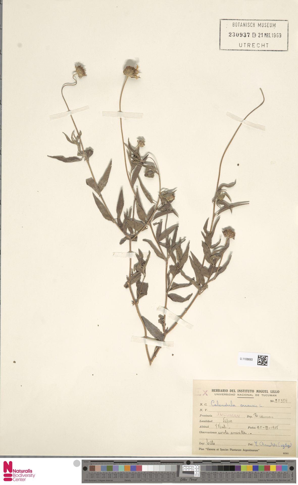 U.1108693 | Calendula arvensis (Vaill.) L.
