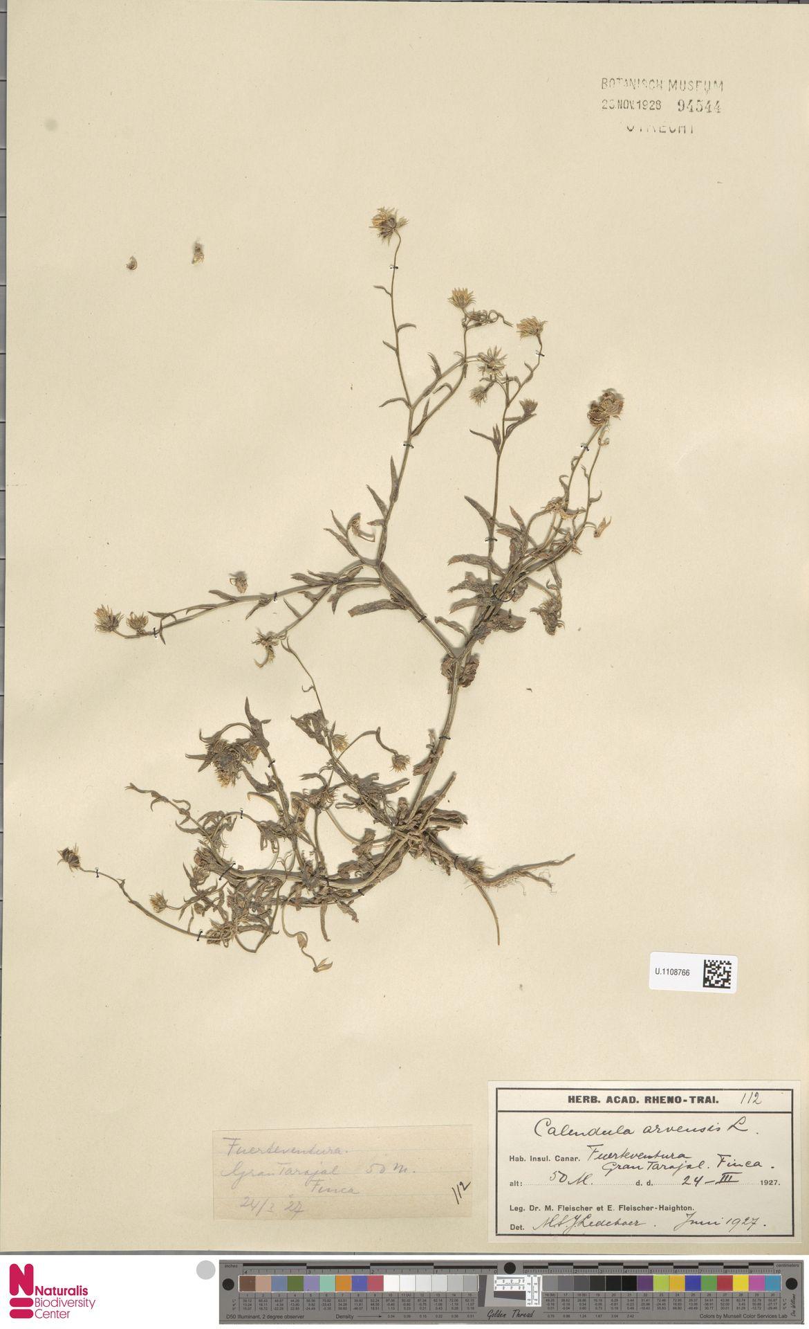 U.1108766 | Calendula arvensis (Vaill.) L.