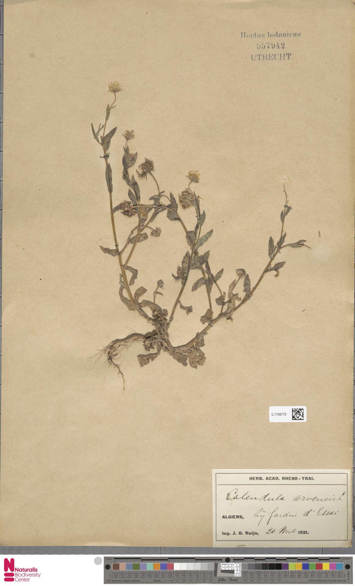 U.1108770   Calendula arvensis (Vaill.) L.
