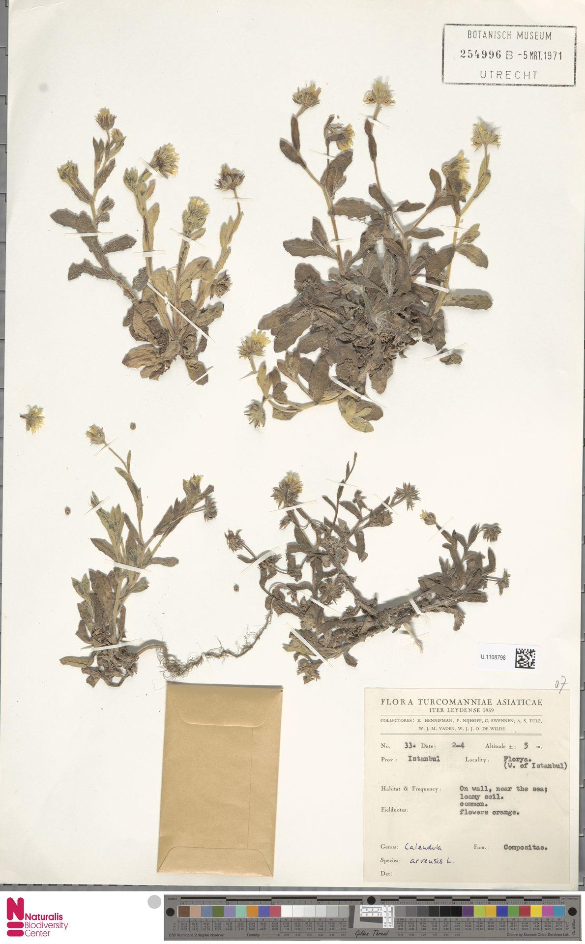 U.1108798 | Calendula arvensis (Vaill.) L.