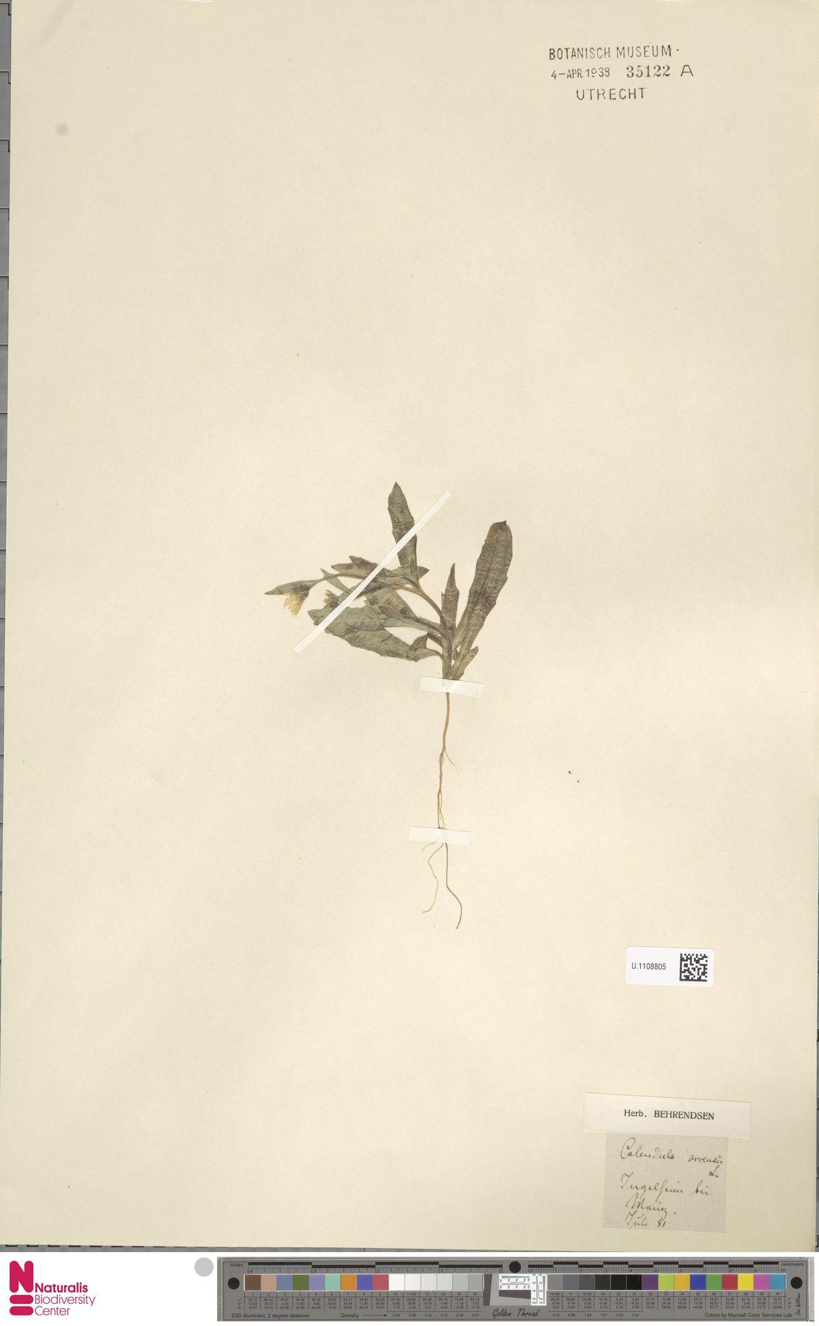 U.1108805 | Calendula arvensis (Vaill.) L.