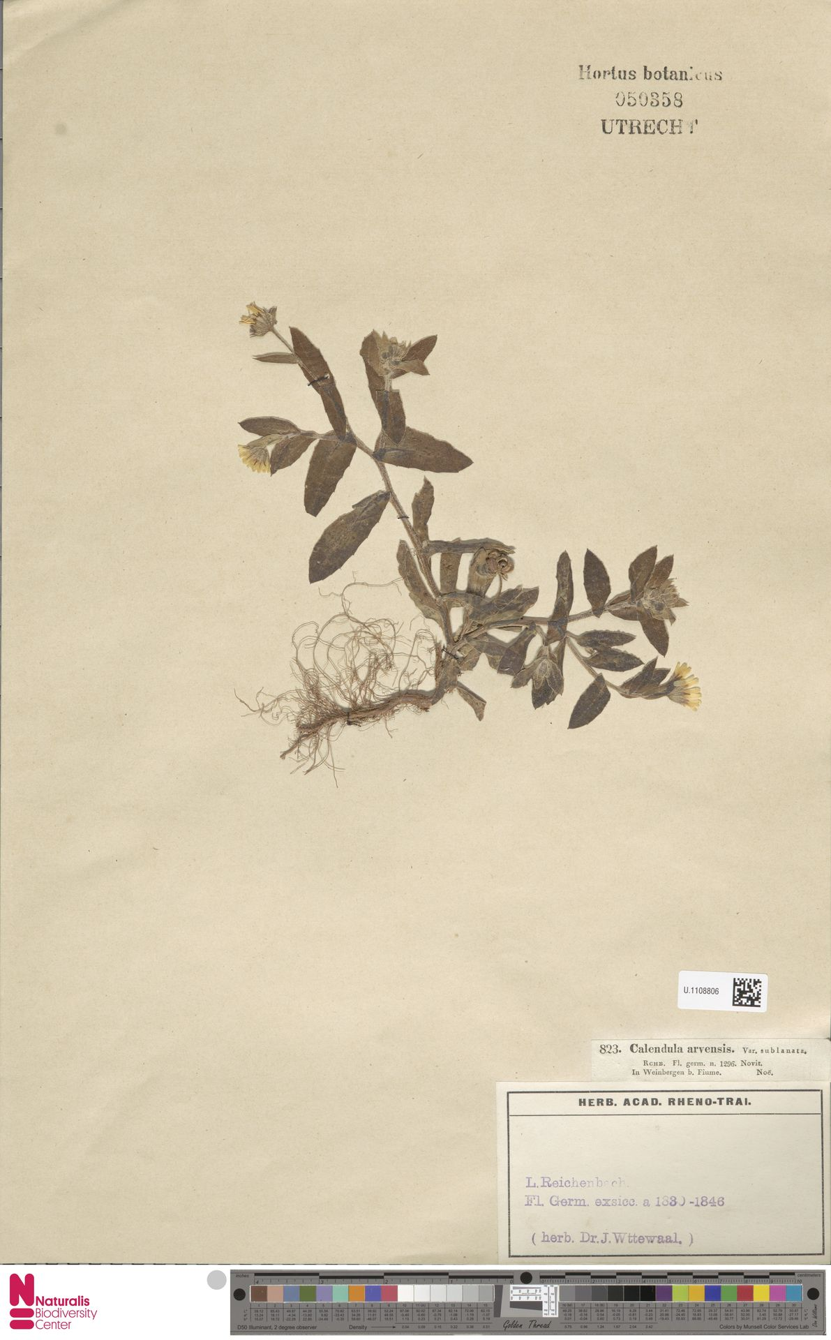 U.1108806 | Calendula arvensis (Vaill.) L.