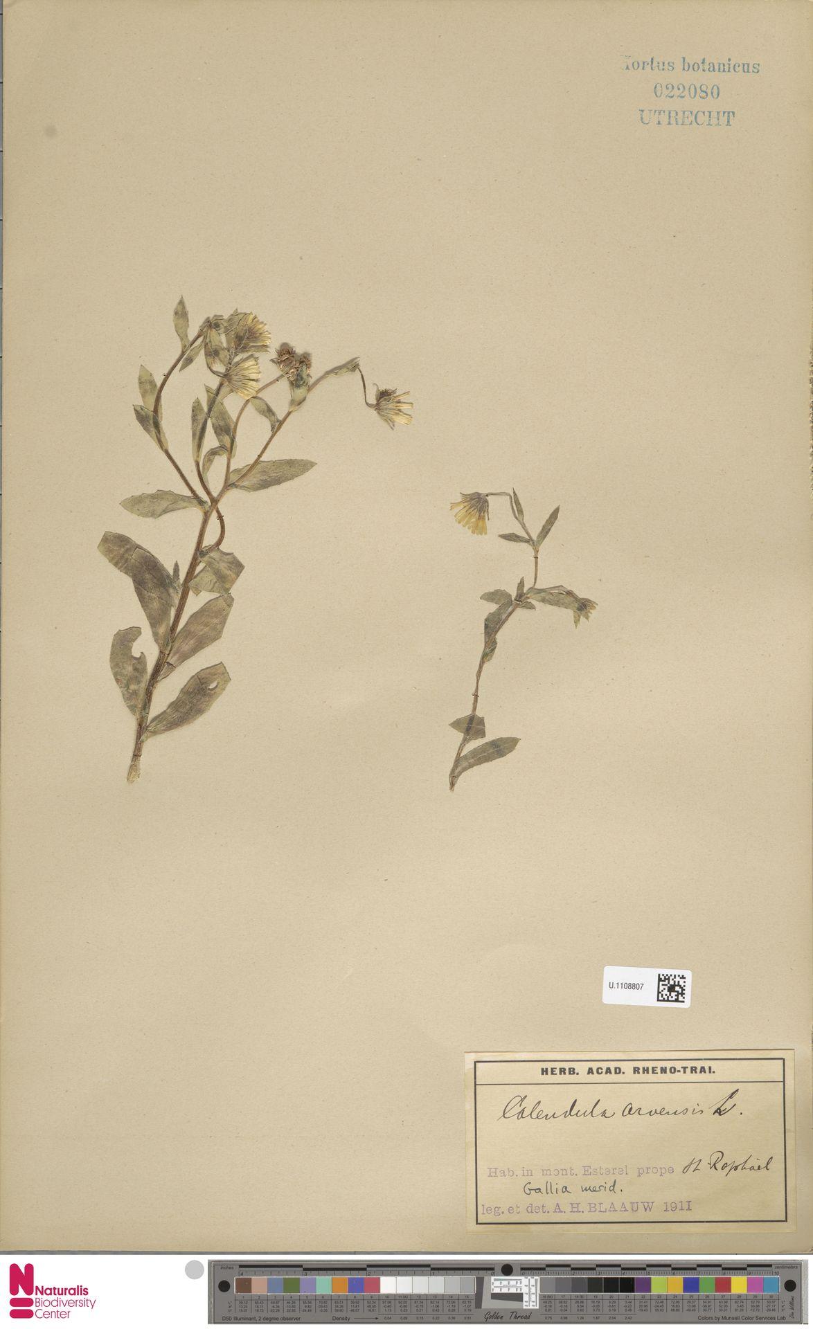 U.1108807 | Calendula arvensis (Vaill.) L.