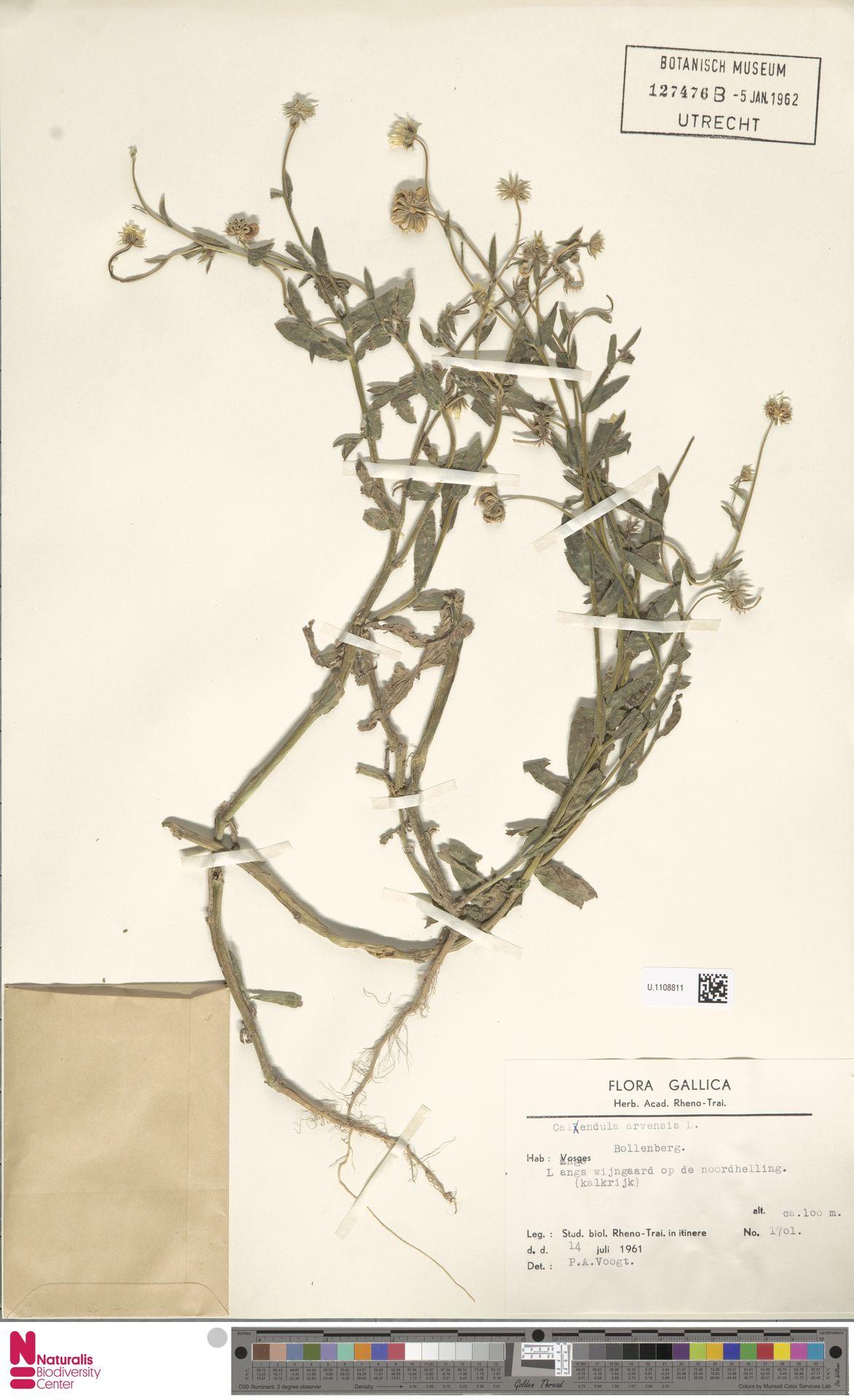 U.1108811 | Calendula arvensis (Vaill.) L.