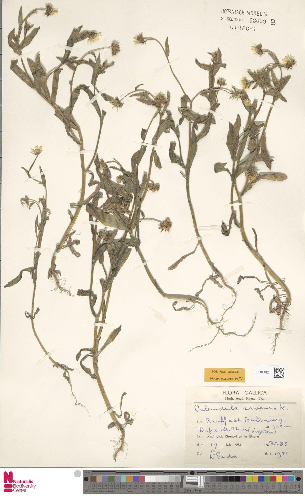U.1108812 | Calendula arvensis (Vaill.) L.