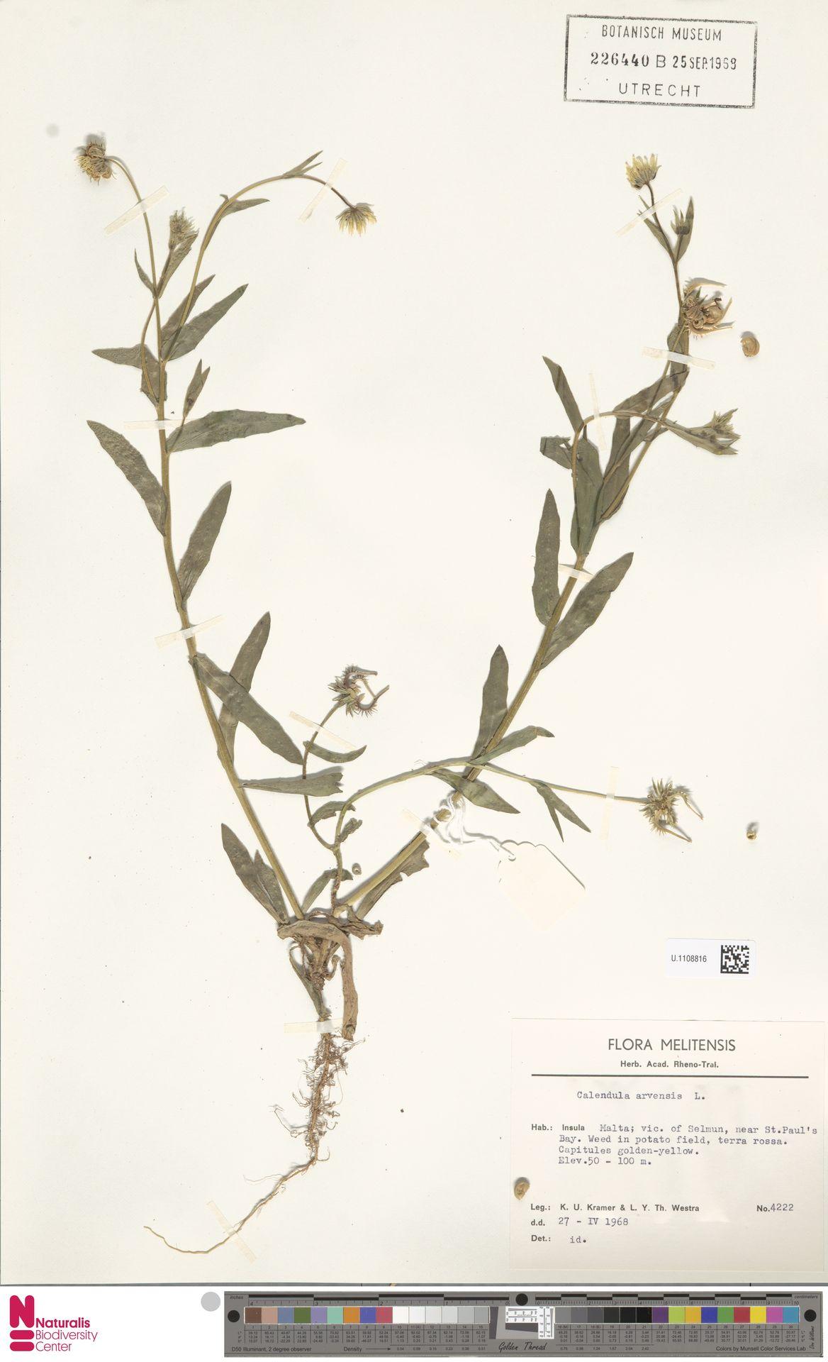 U.1108816   Calendula arvensis (Vaill.) L.