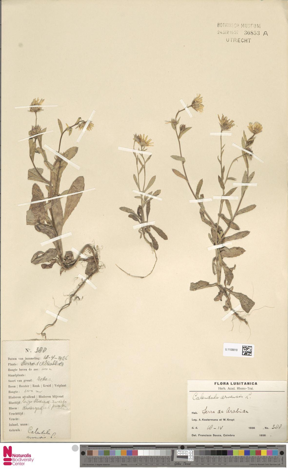 U.1108819 | Calendula arvensis (Vaill.) L.