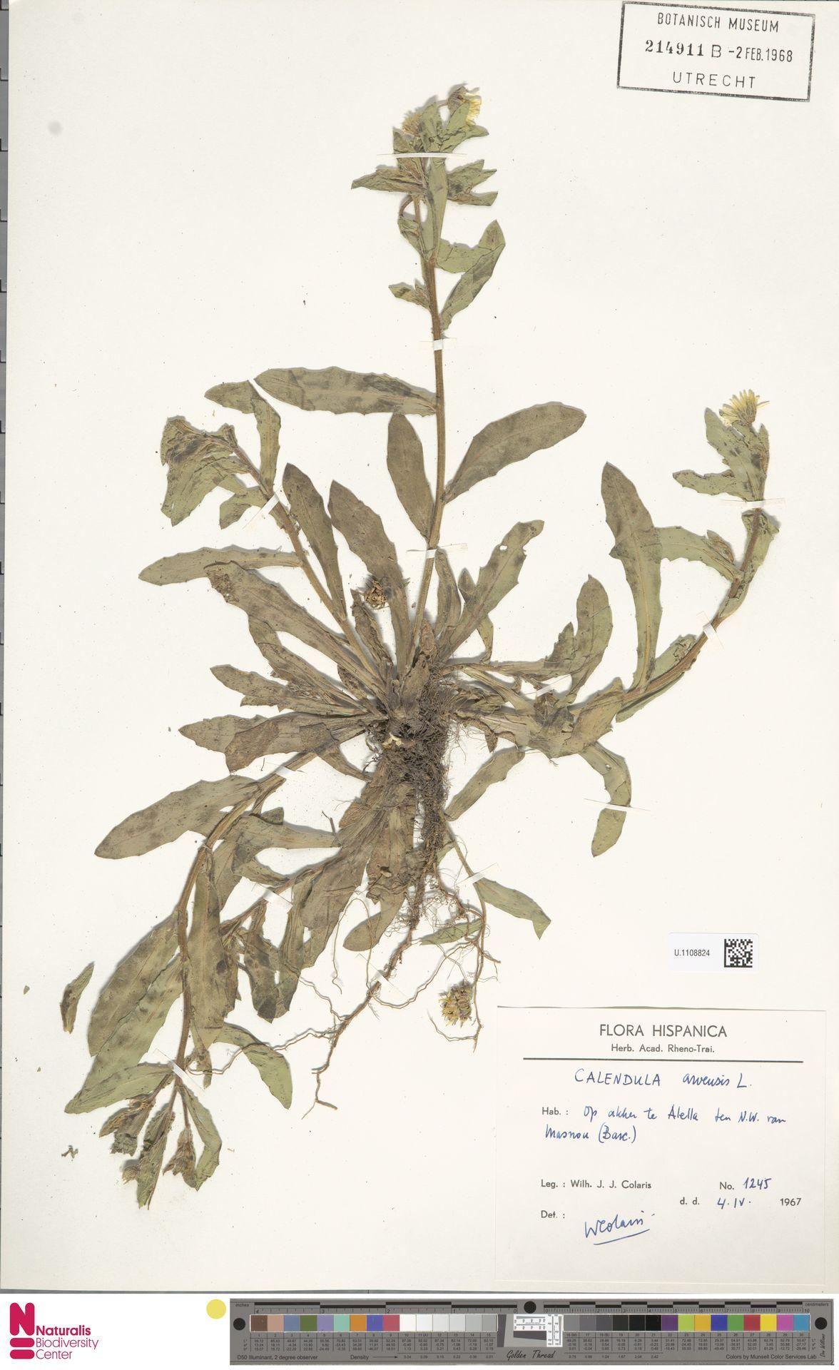 U.1108824 | Calendula arvensis (Vaill.) L.