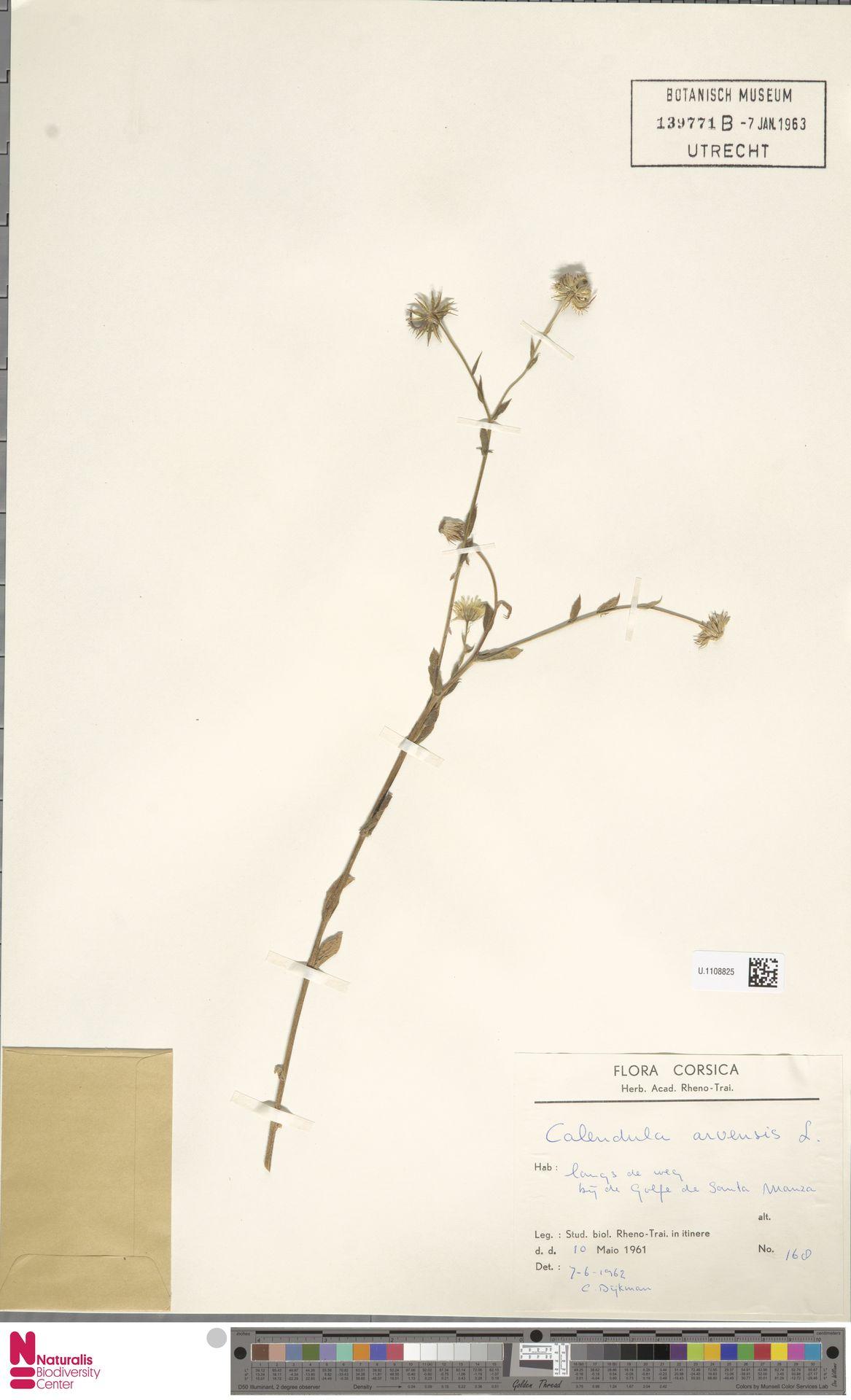 U.1108825 | Calendula arvensis (Vaill.) L.