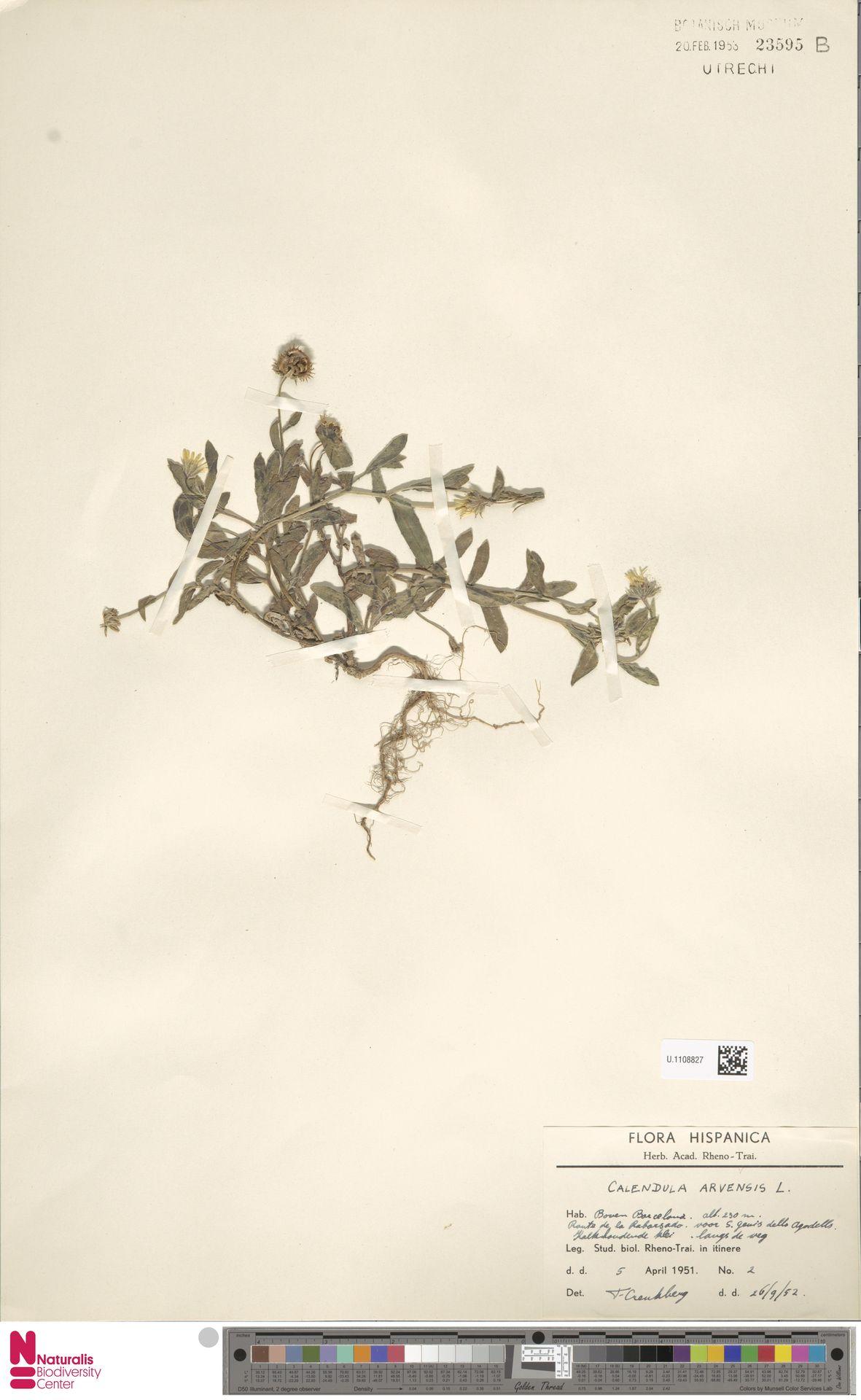 U.1108827   Calendula arvensis (Vaill.) L.