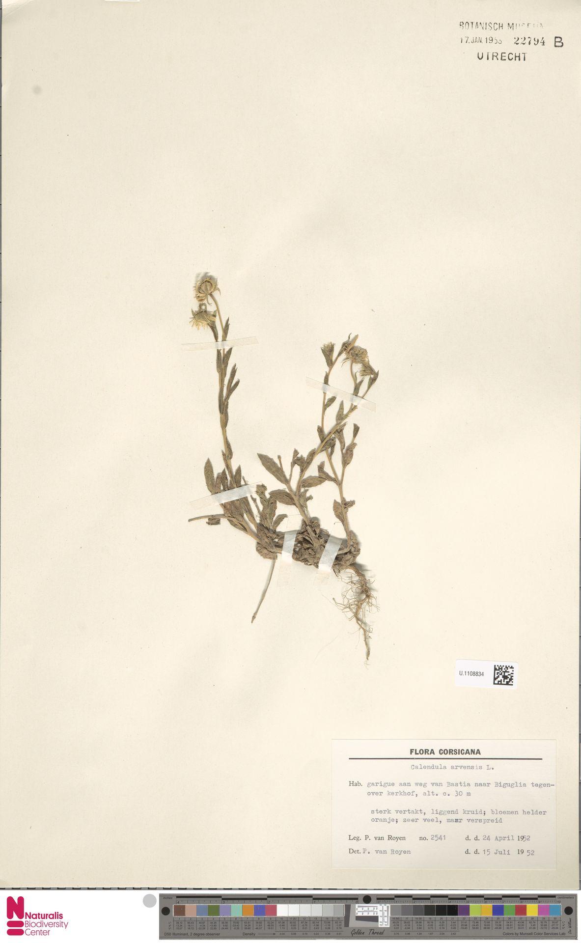 U.1108834 | Calendula arvensis (Vaill.) L.