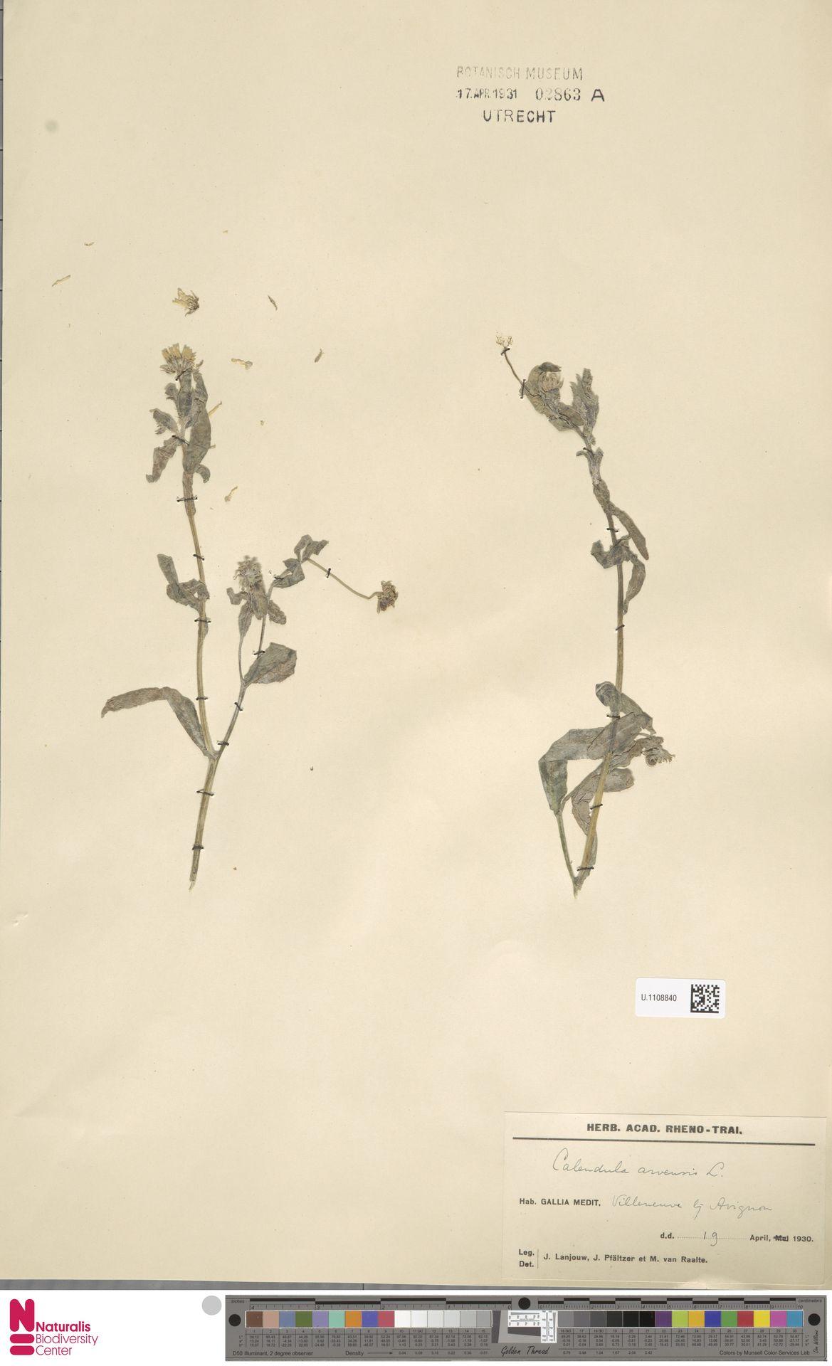 U.1108840 | Calendula arvensis (Vaill.) L.