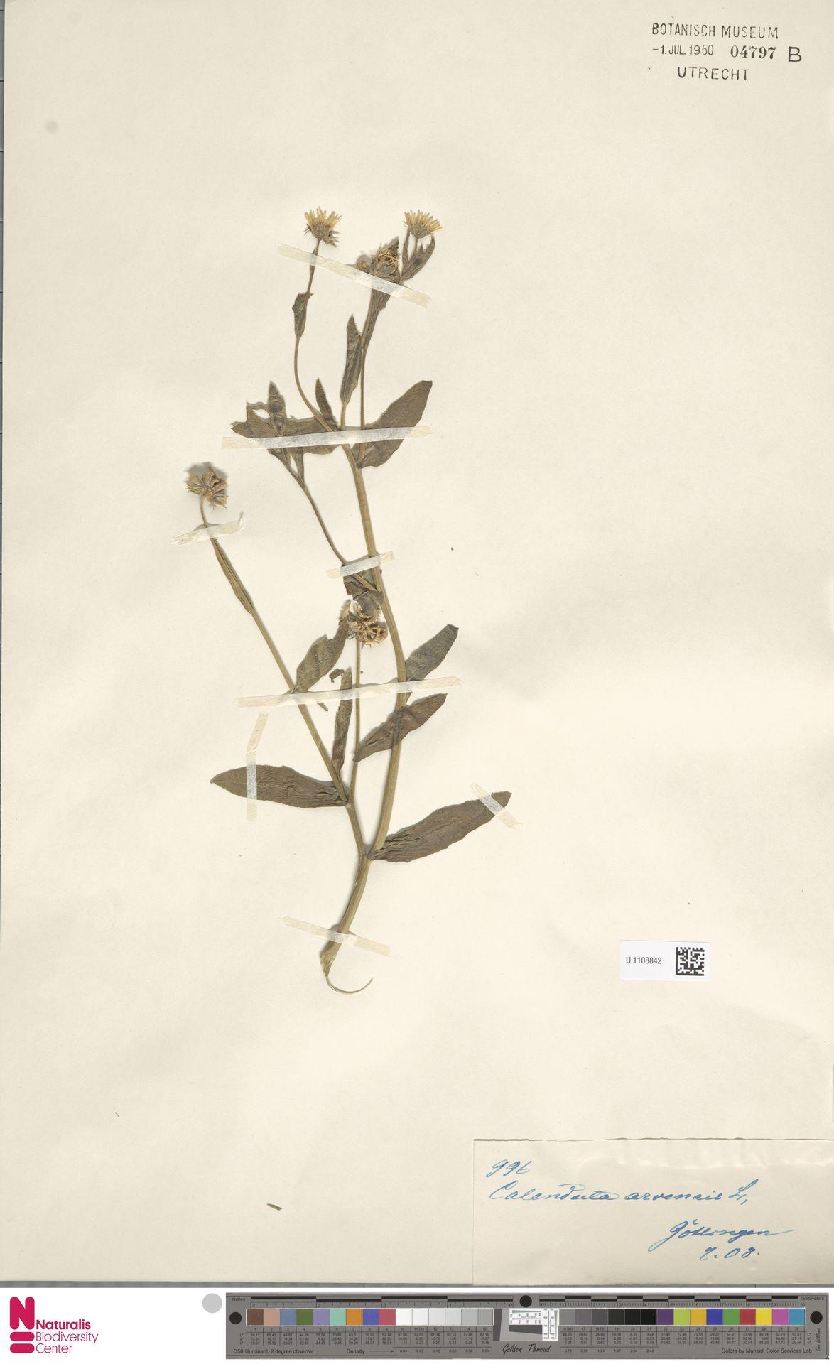 U.1108842 | Calendula arvensis (Vaill.) L.