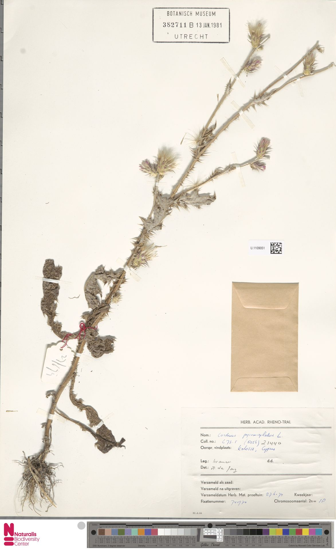U.1109051 | Carduus pycnocephalus L.
