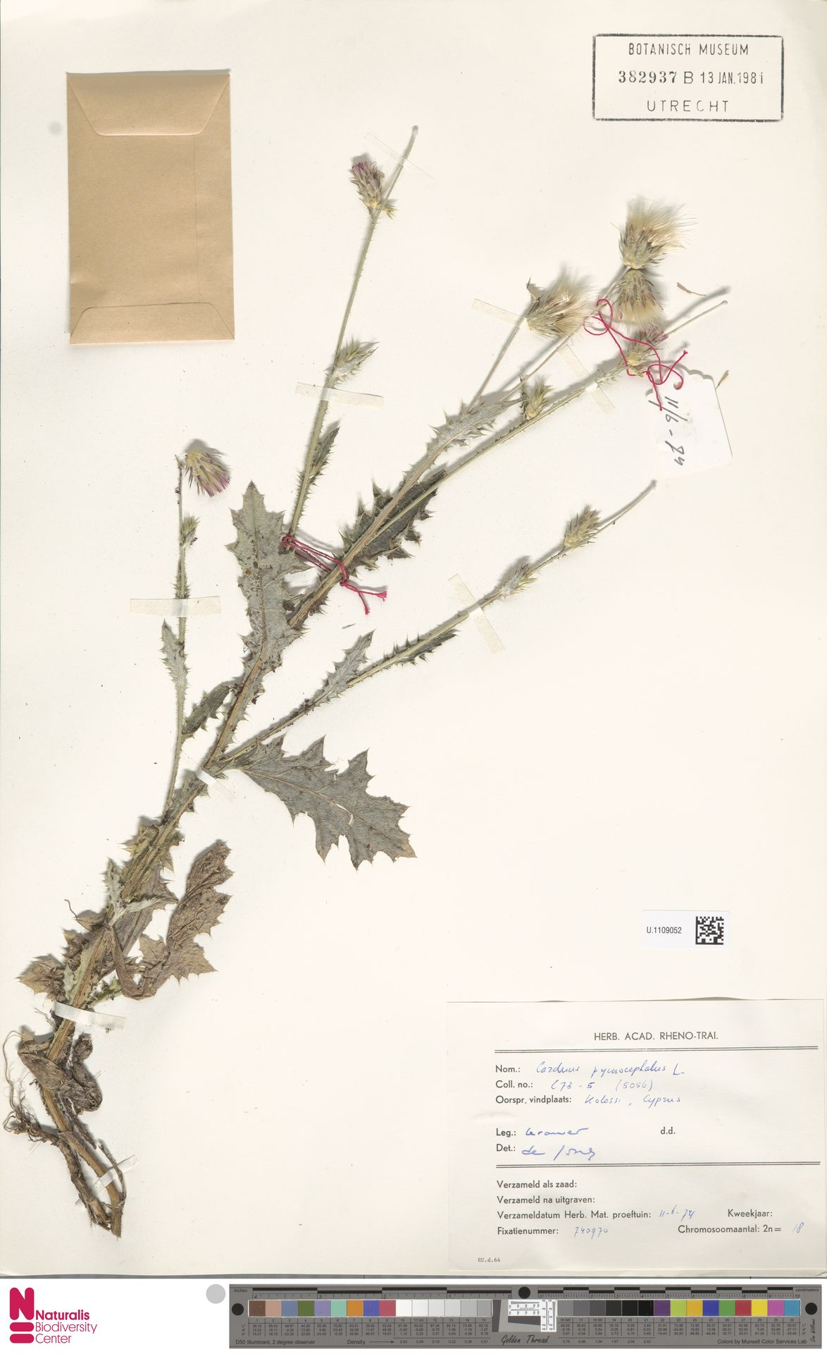 U.1109052 | Carduus pycnocephalus L.