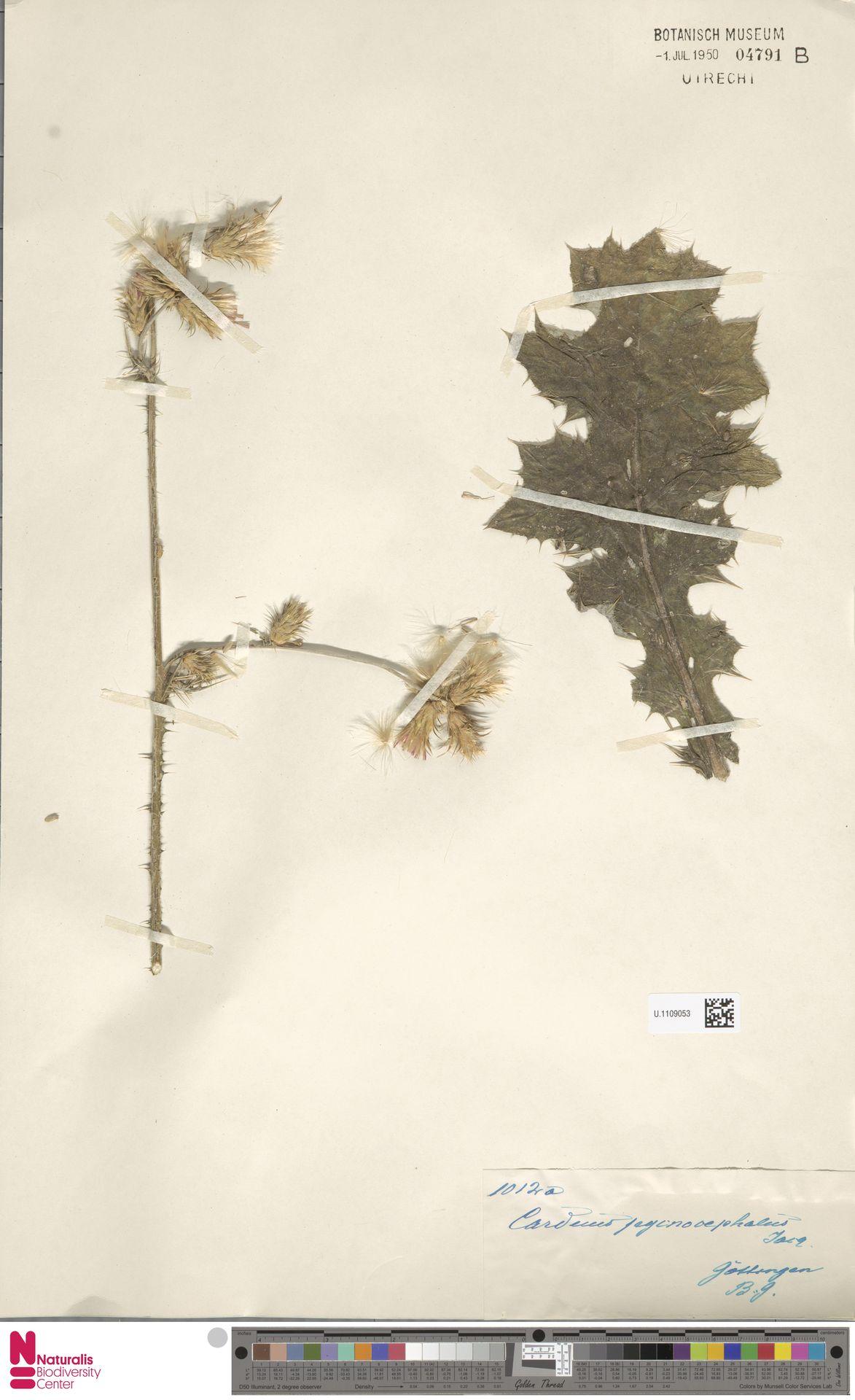 U.1109053 | Carduus pycnocephalus L.