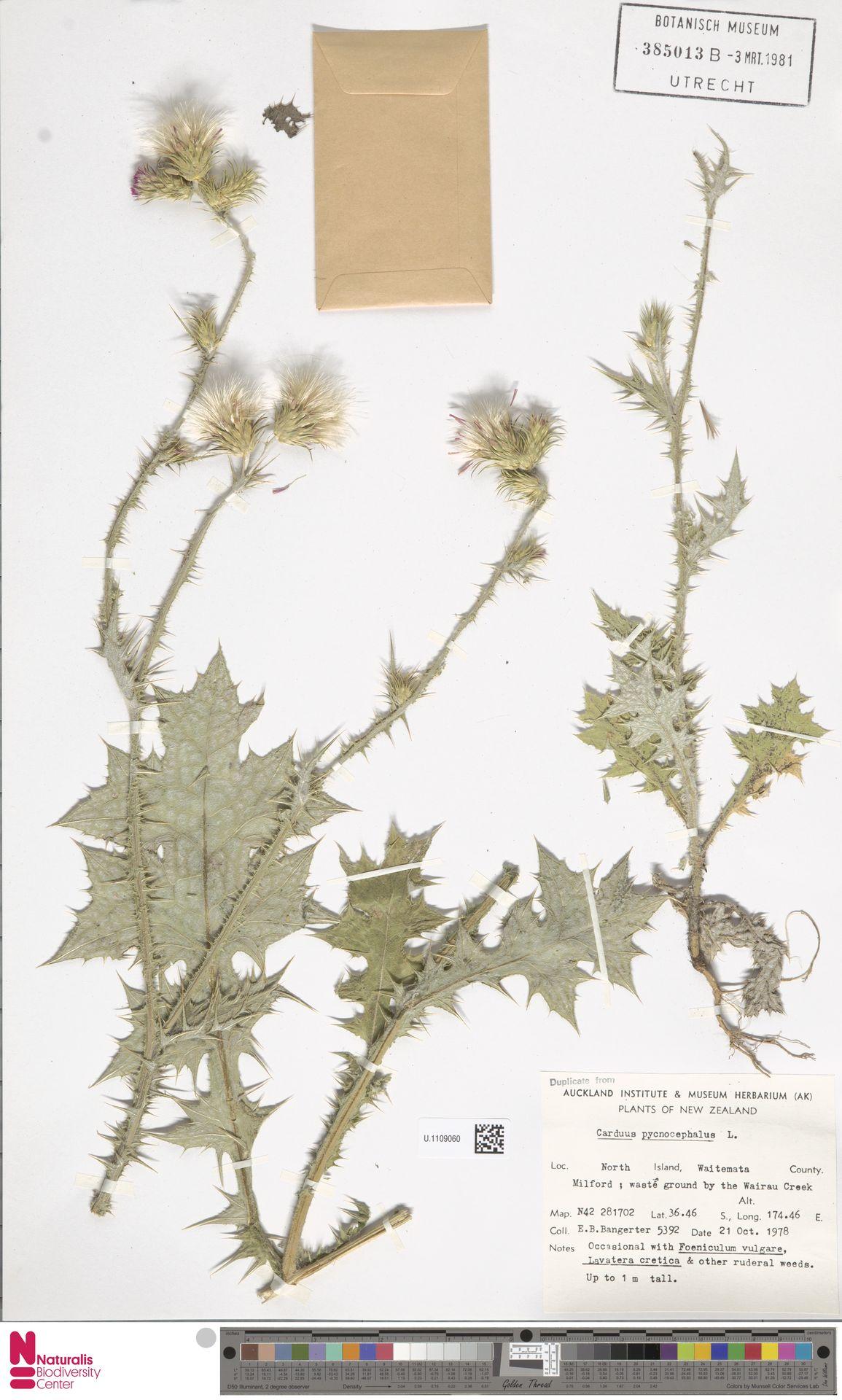 U.1109060 | Carduus pycnocephalus L.