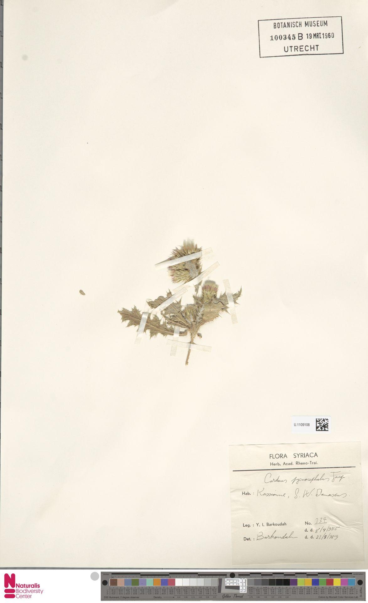U.1109108 | Carduus pycnocephalus L.