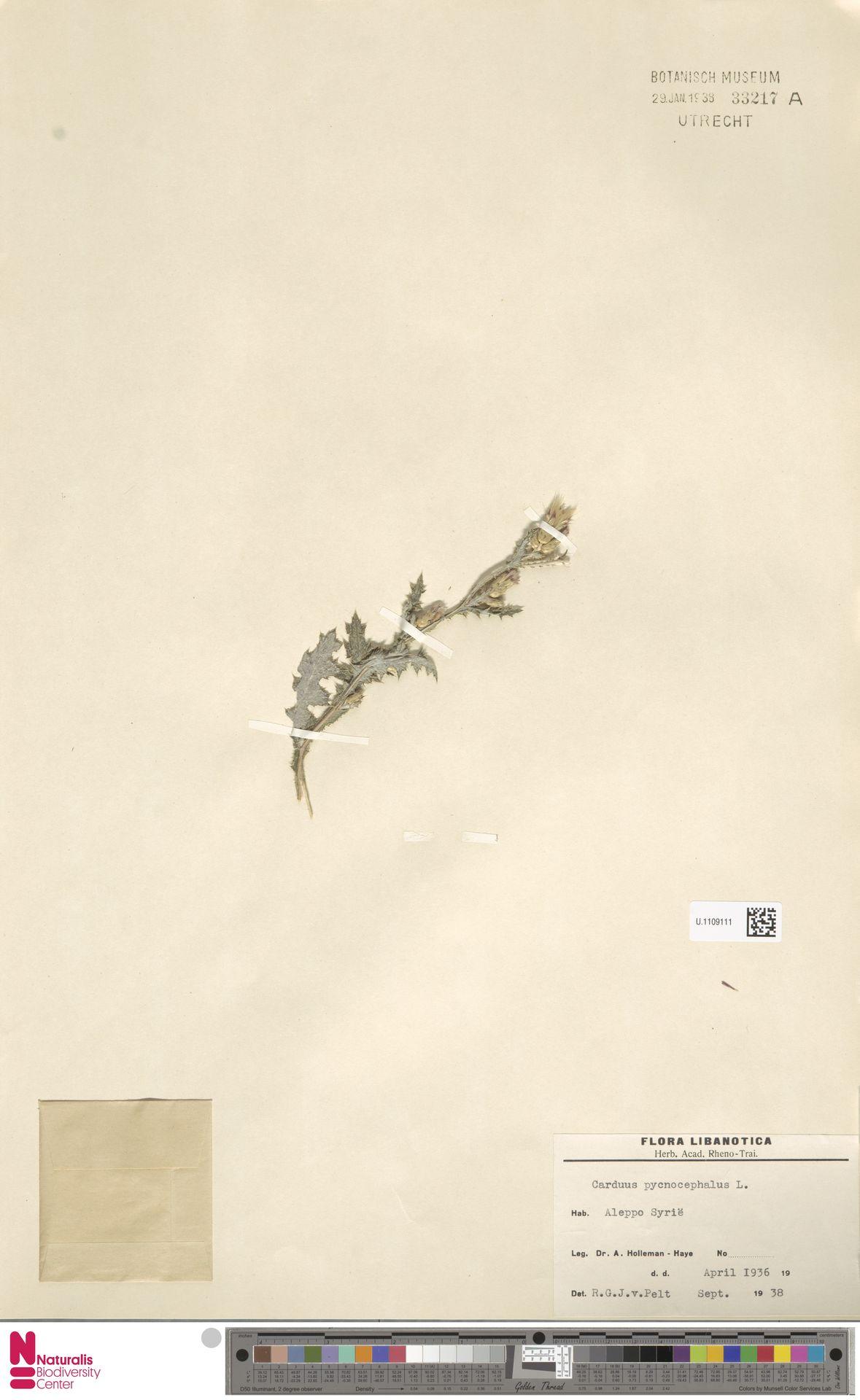 U.1109111 | Carduus pycnocephalus L.