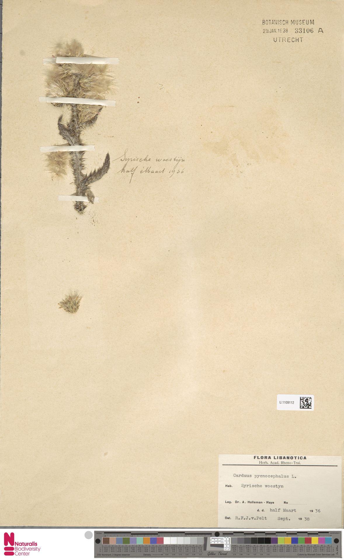 U.1109112 | Carduus pycnocephalus L.