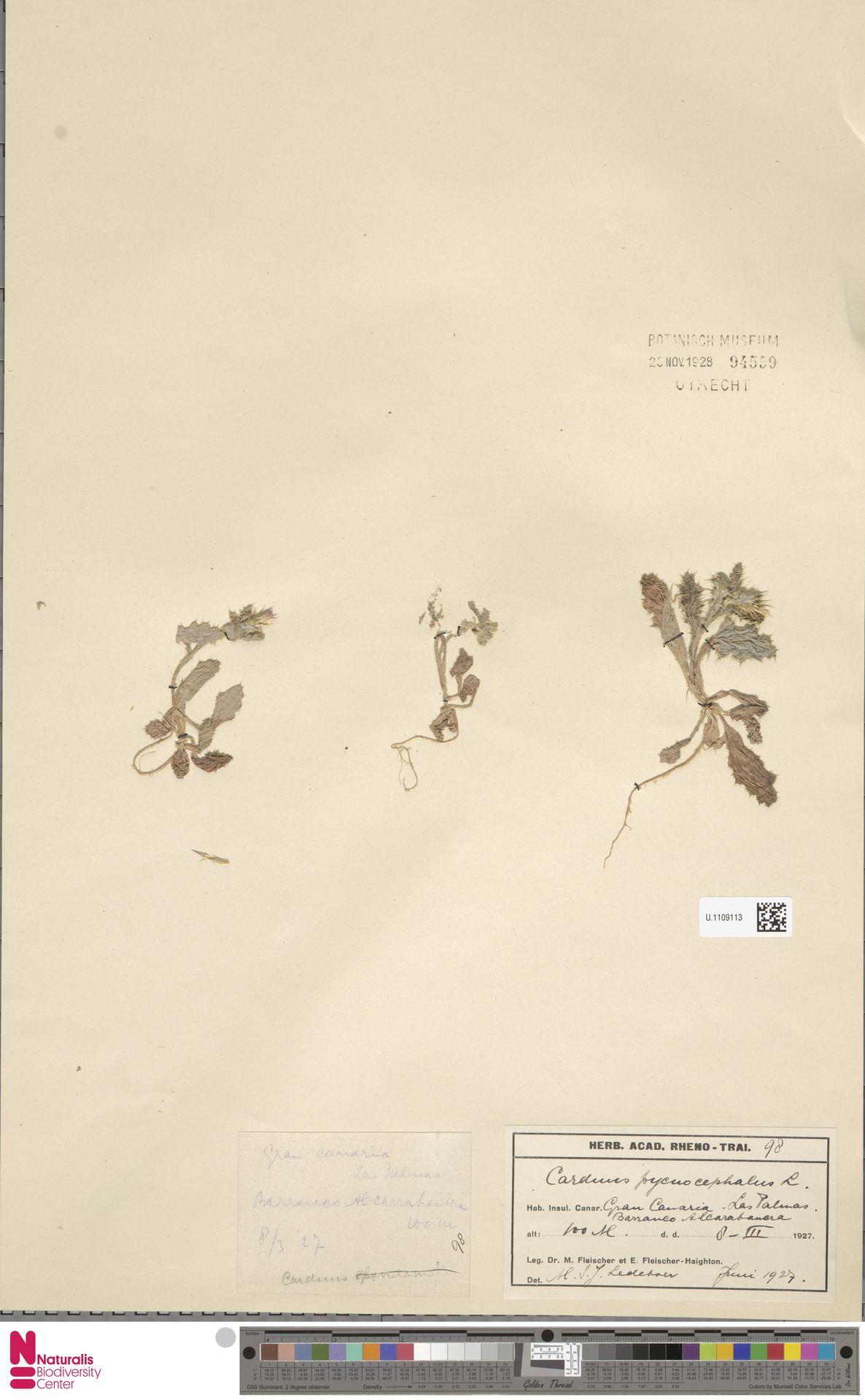 U.1109113 | Carduus pycnocephalus L.