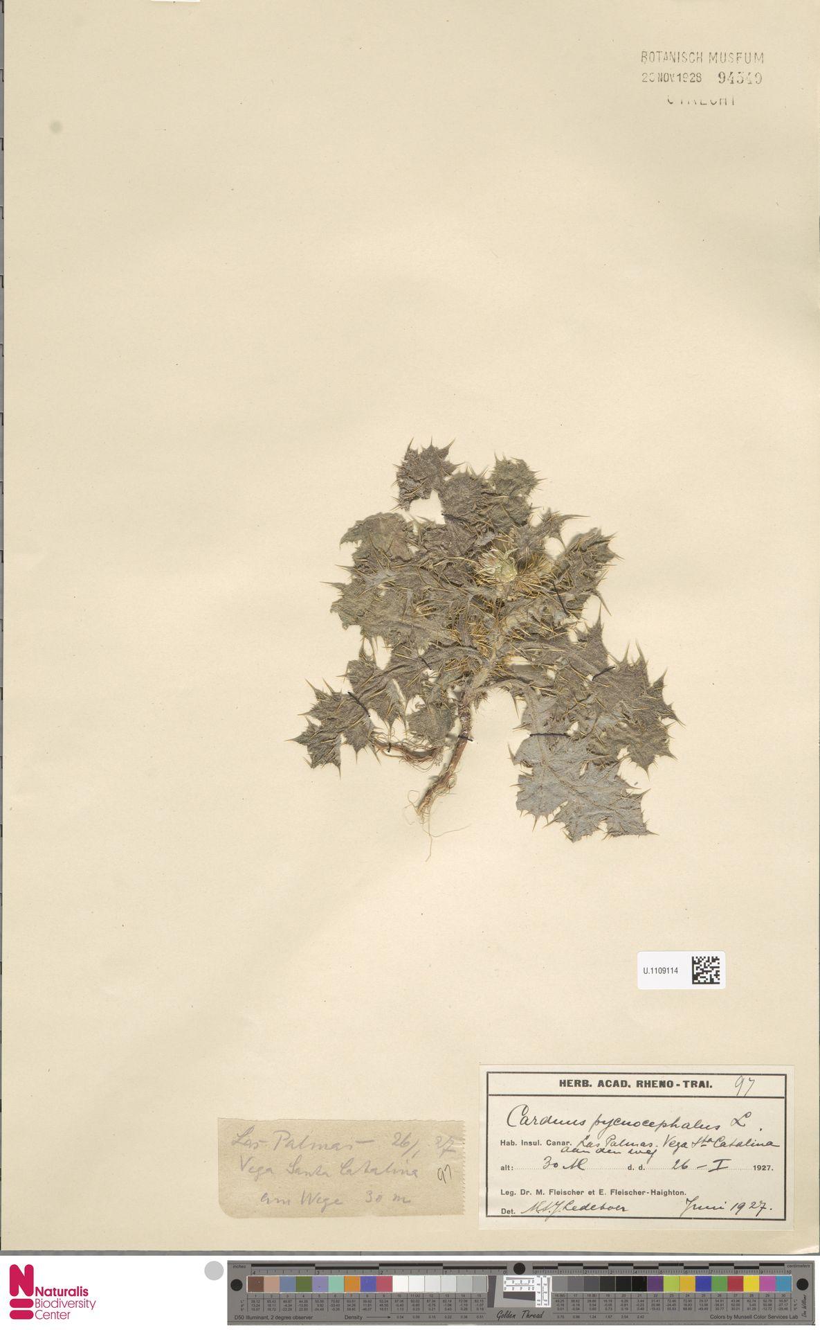 U.1109114 | Carduus pycnocephalus L.