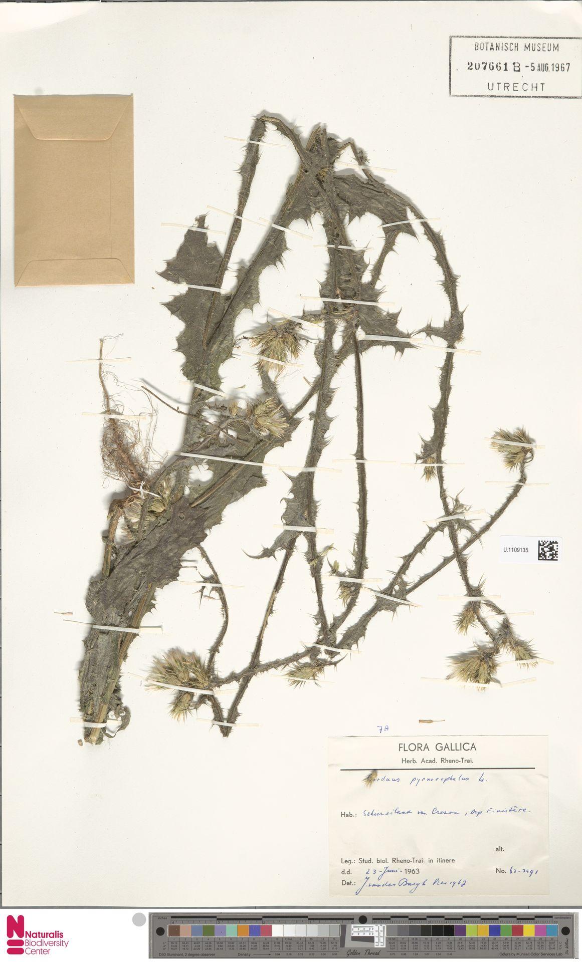 U.1109135 | Carduus pycnocephalus L.